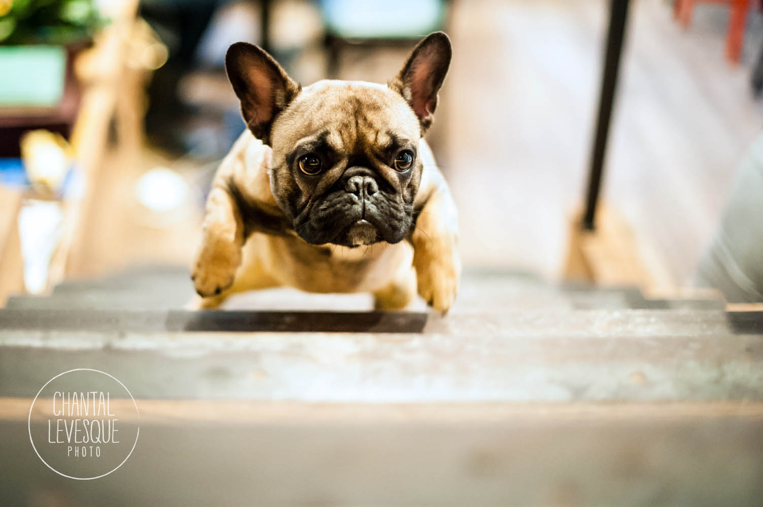french-bulldog-run