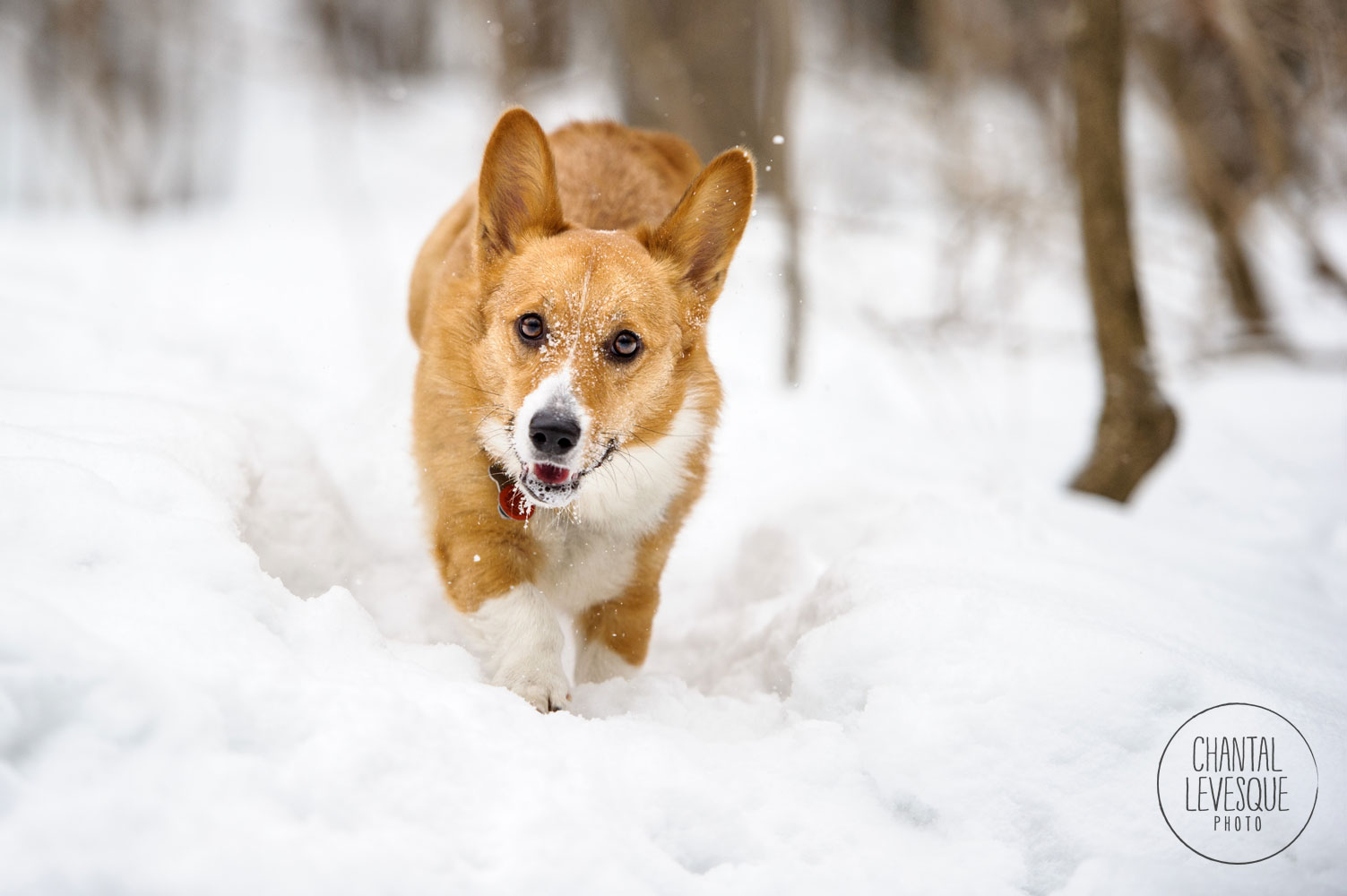 corgi-run-snow