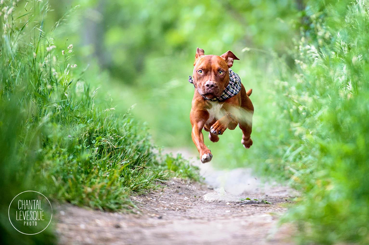 pitbull-run
