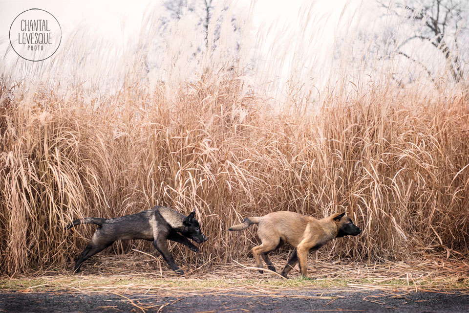 malinois-puppies-run