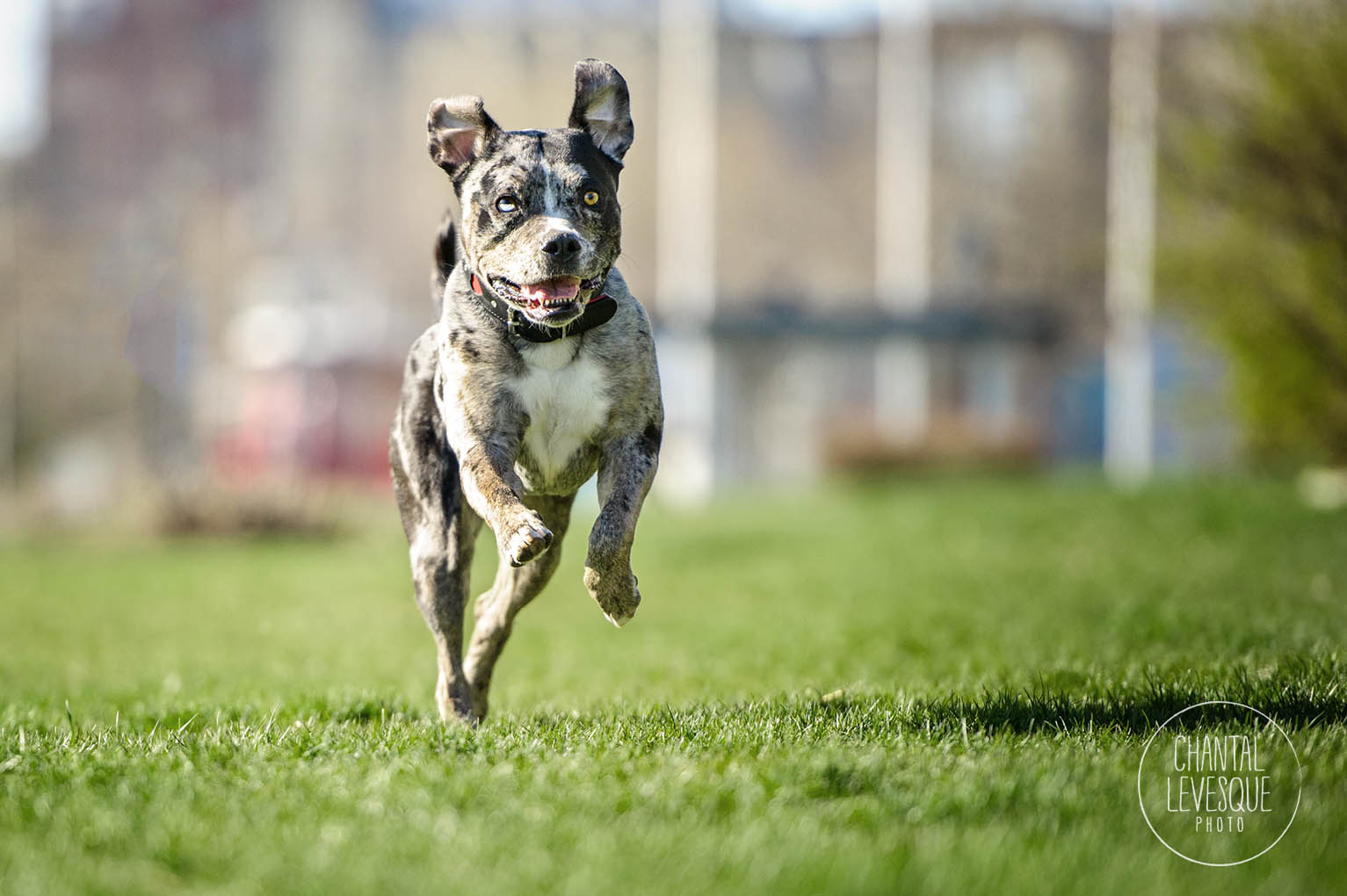 catahoula-run