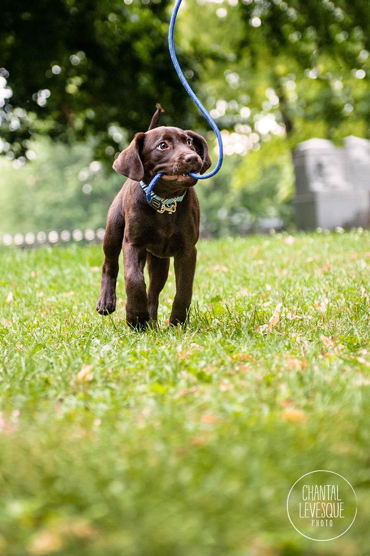 labrador-puppy-leash