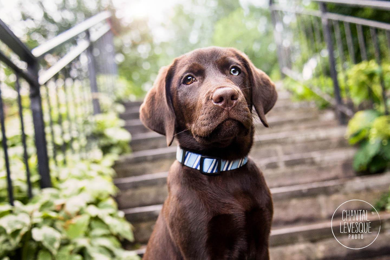 lab-puppy-portrait
