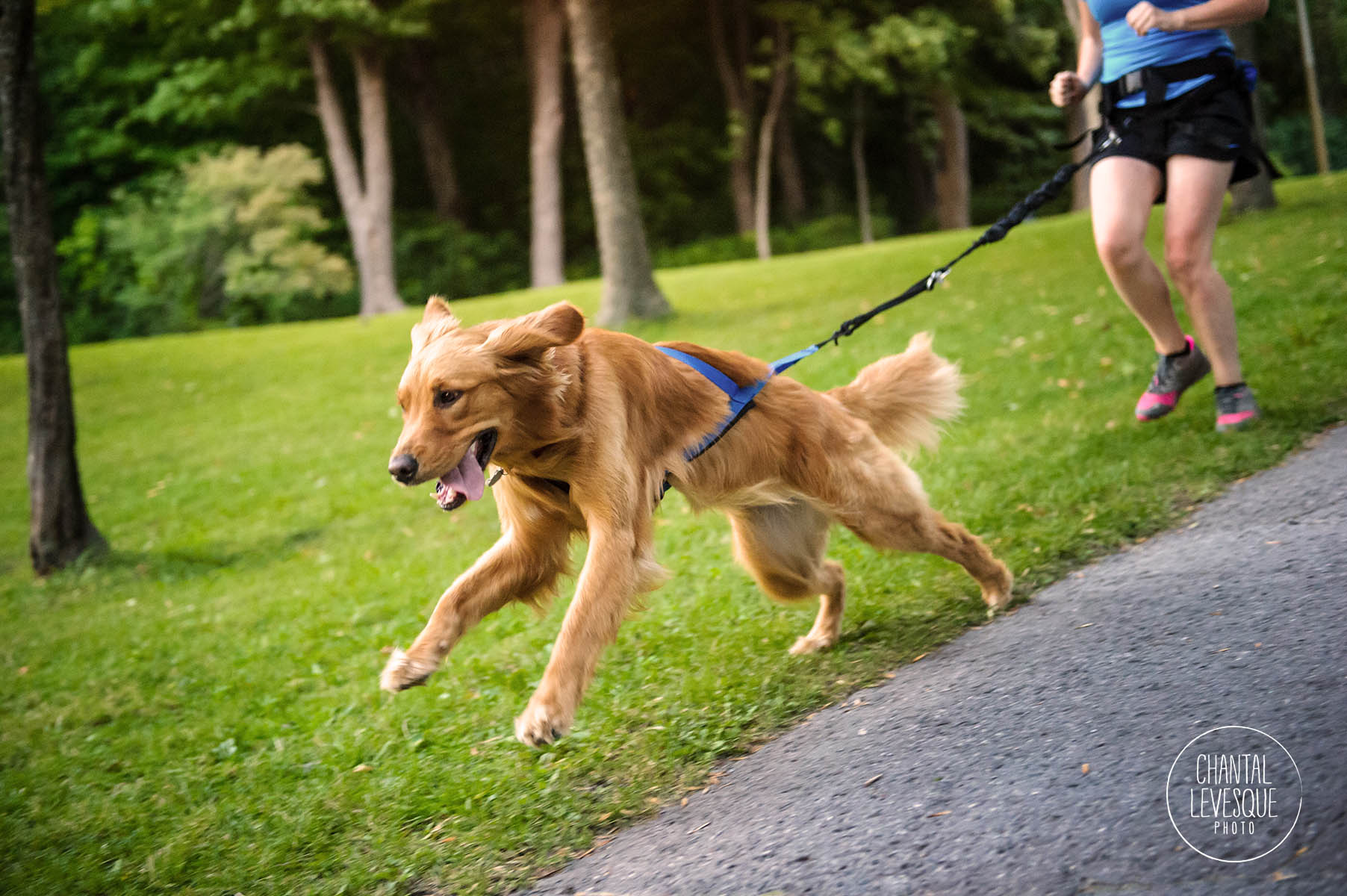 golden-retriever-run