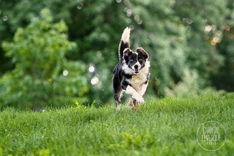 border-collie-run