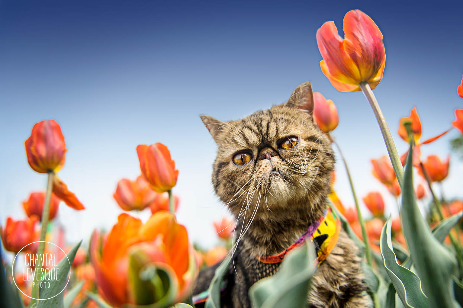 cat-portrait-tulips