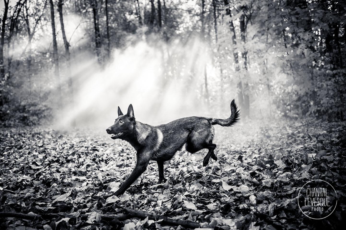 malinois-run-woods