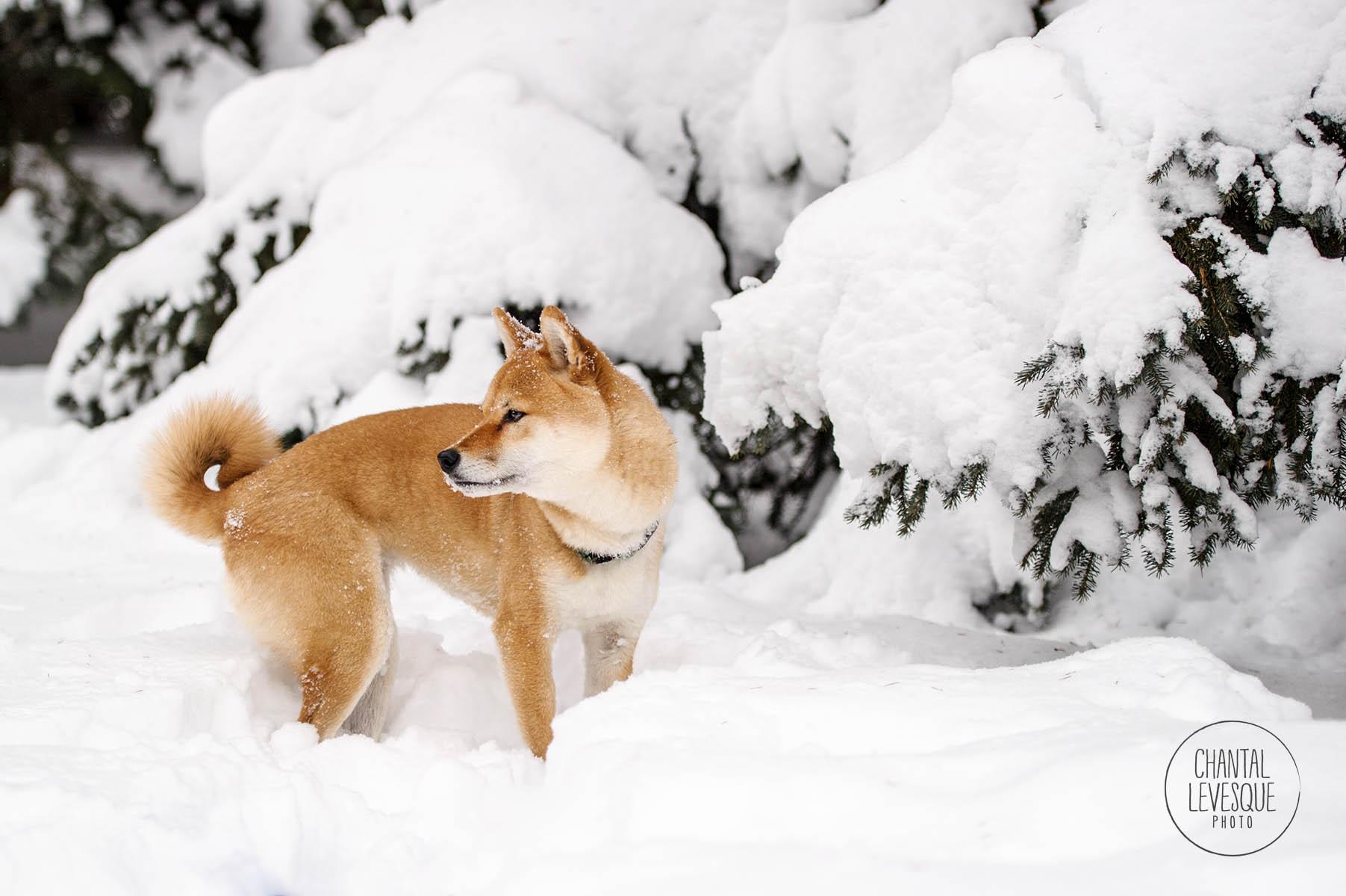 Shiba-Inu-snow