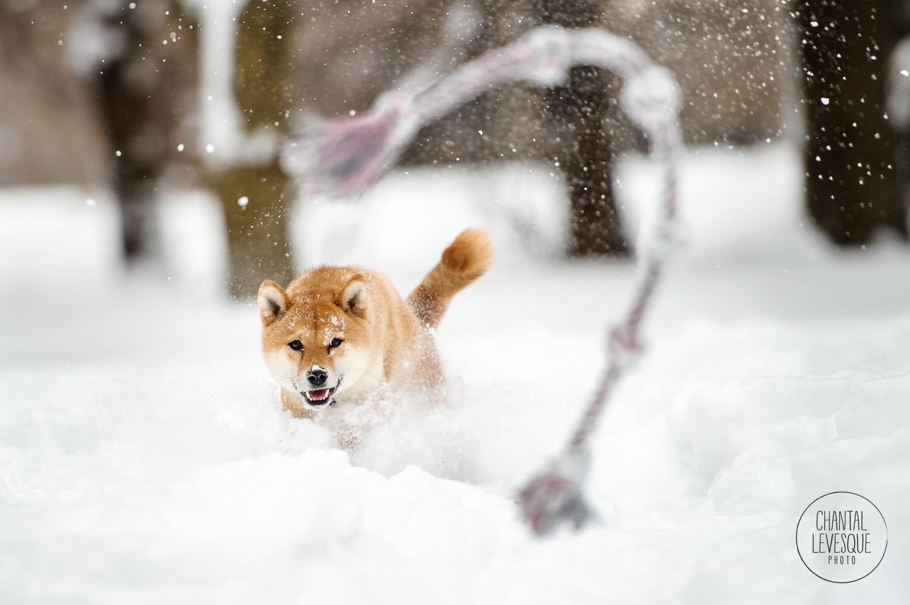 shiba-inu-play-snow