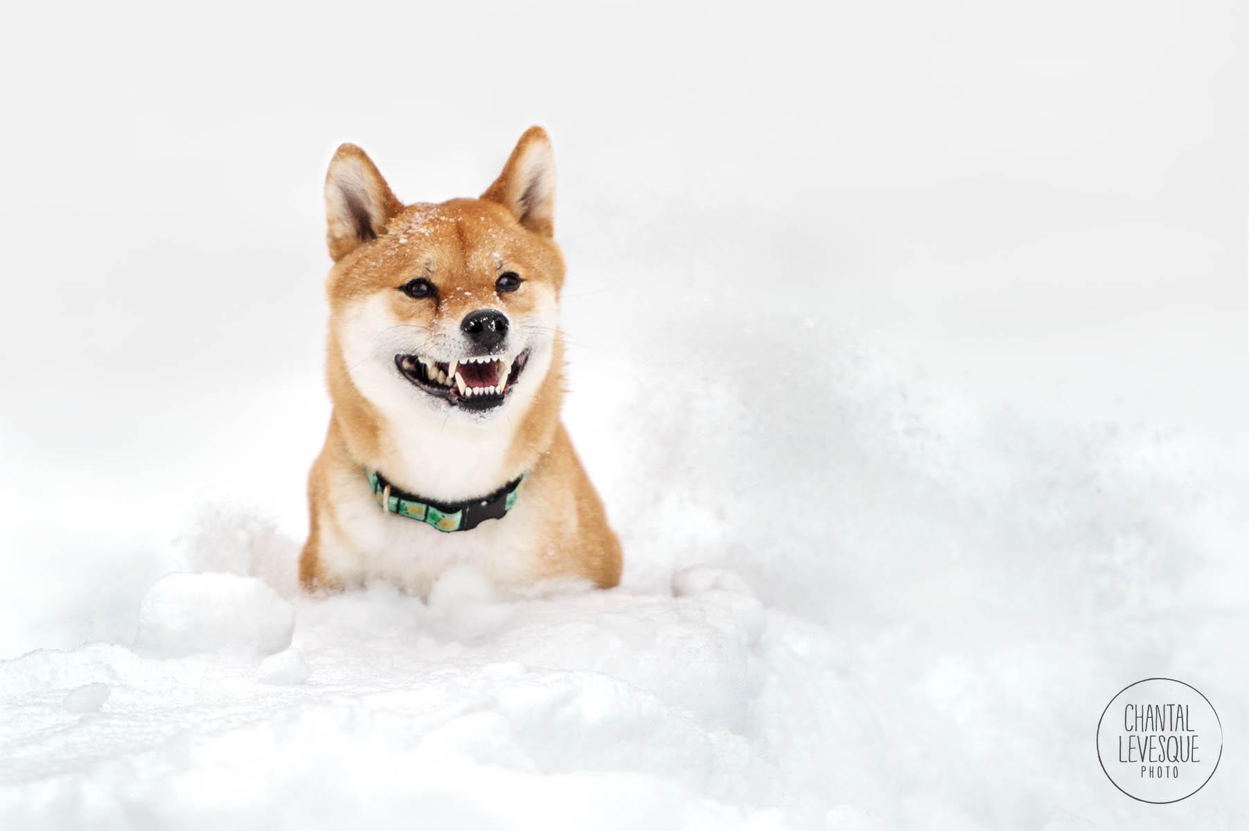 shiba-inu-smile