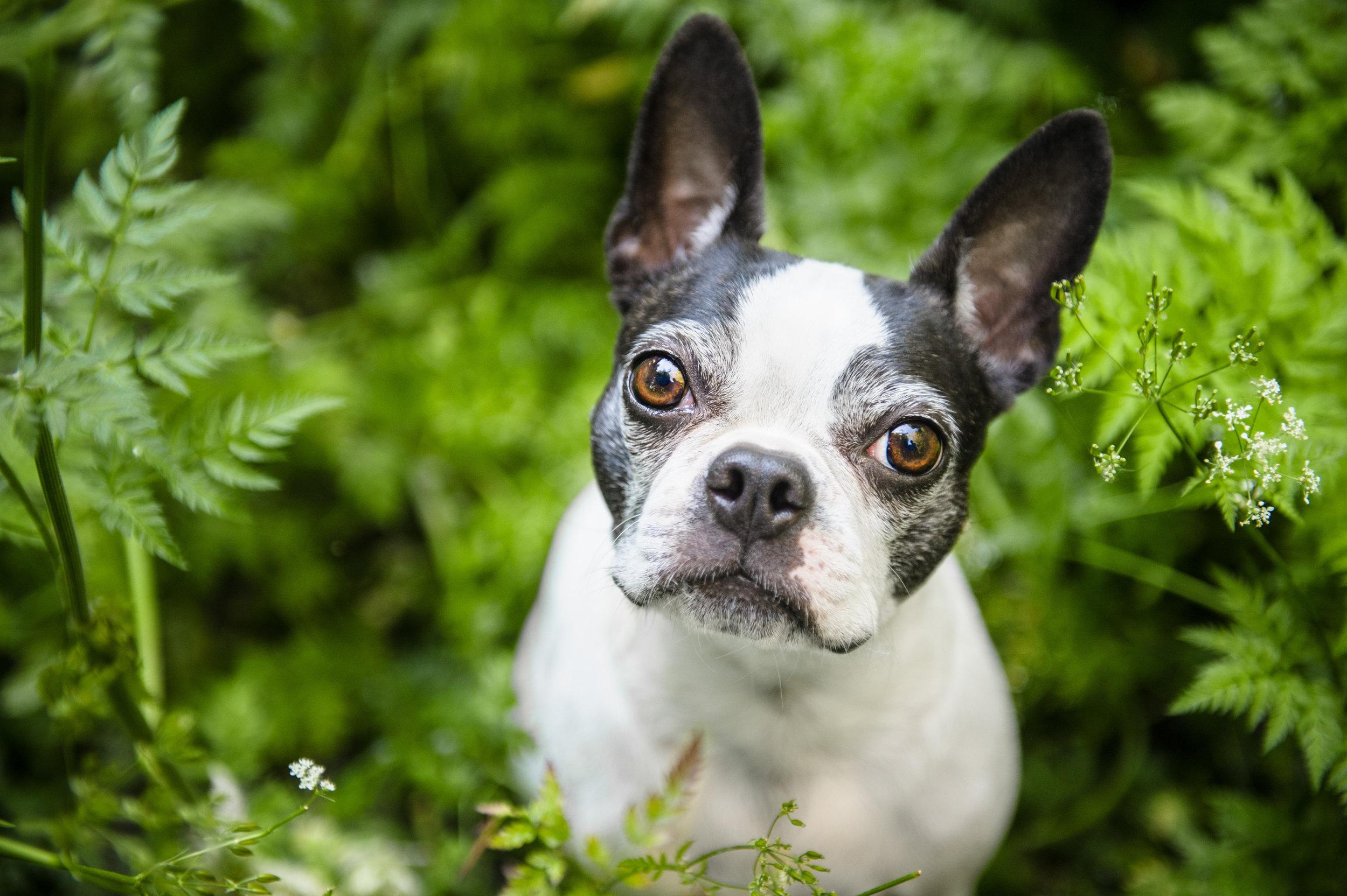 Boston-Terrier-Photography