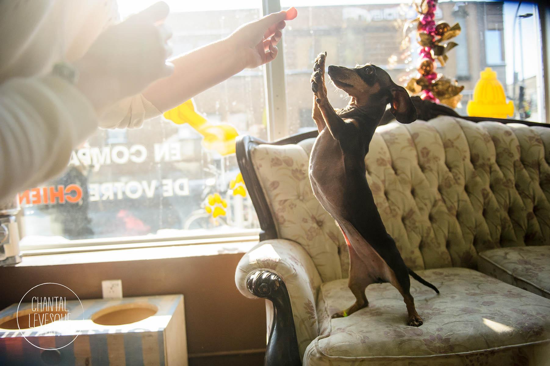 Doggy-Cafe-courtes-pattes-2351.jpg