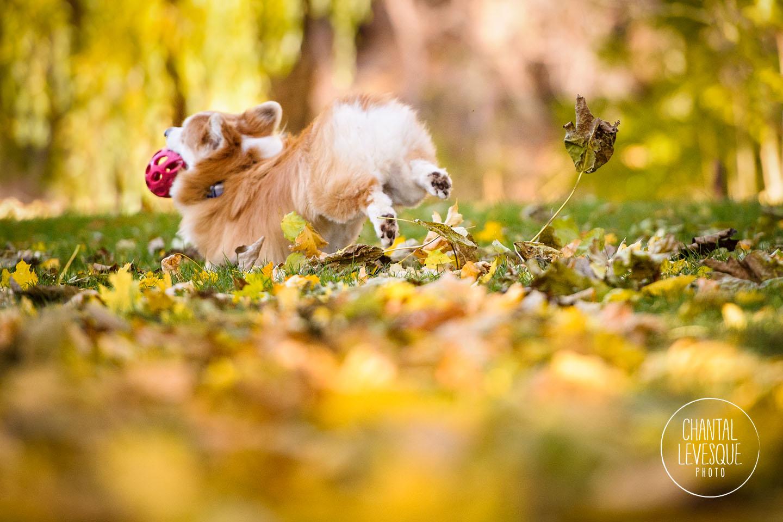 corgi-run-fall-leaves