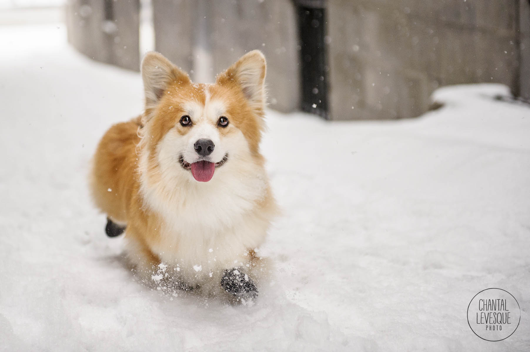 dog-run-snow-old-montreal