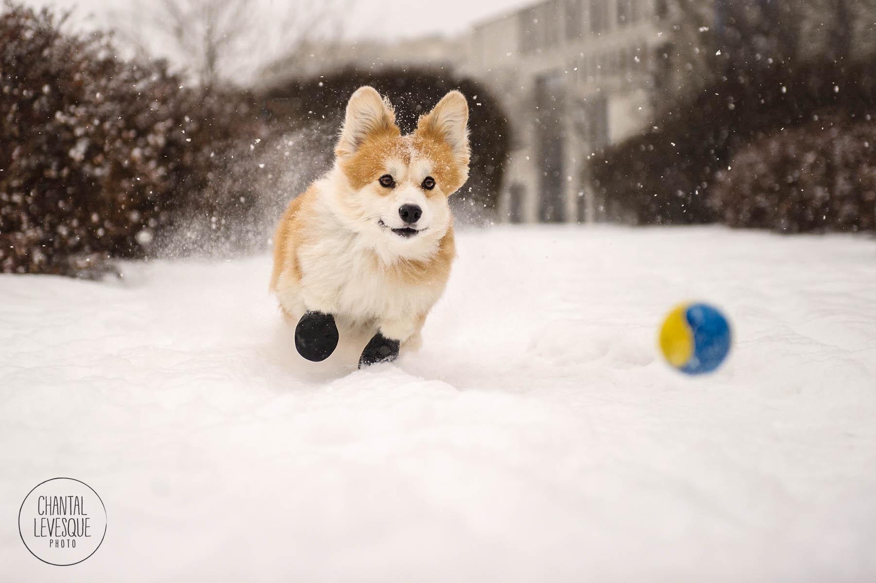 corgi-play-ball-snow