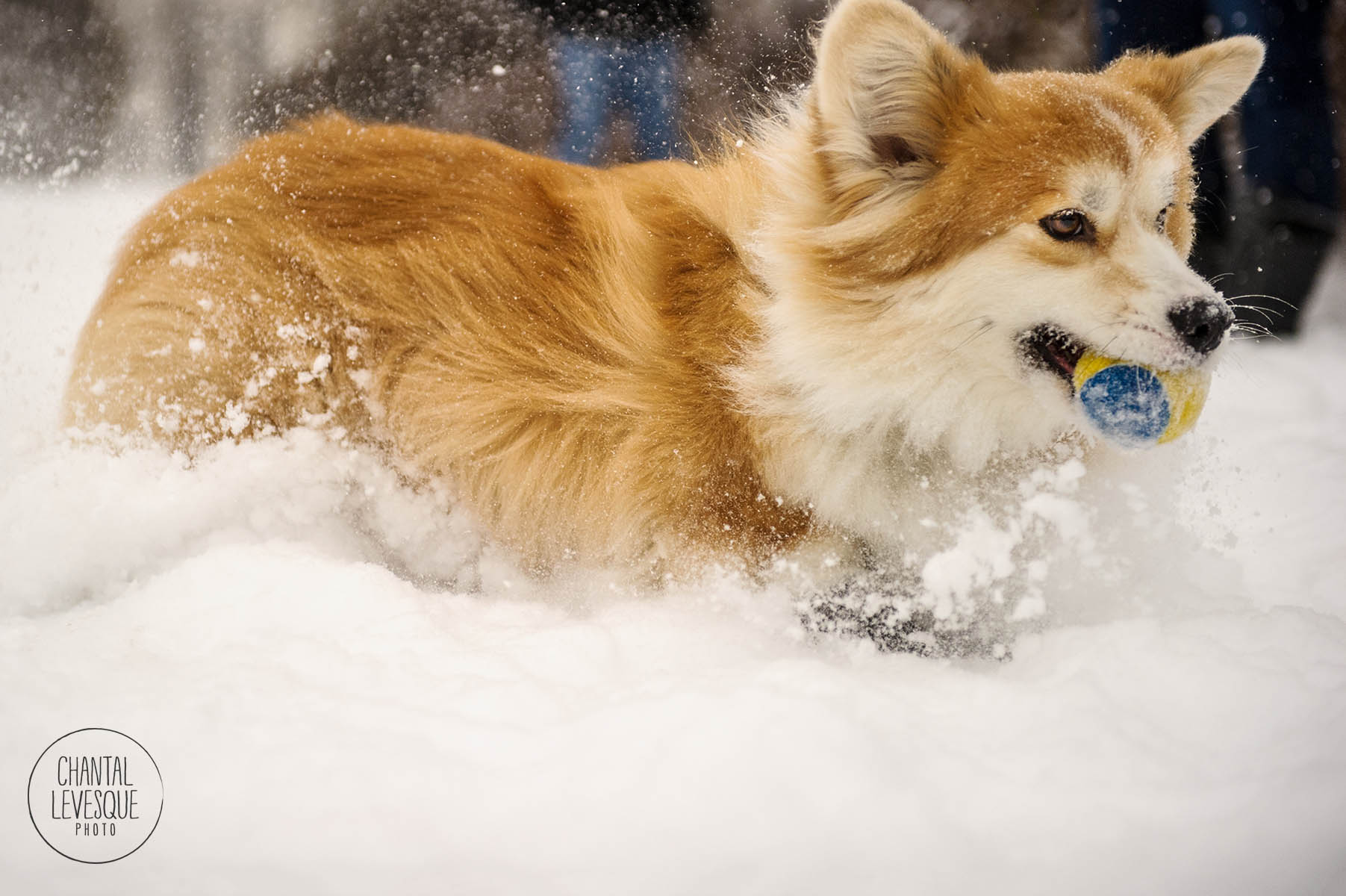 dog-snow-montreal-old-port