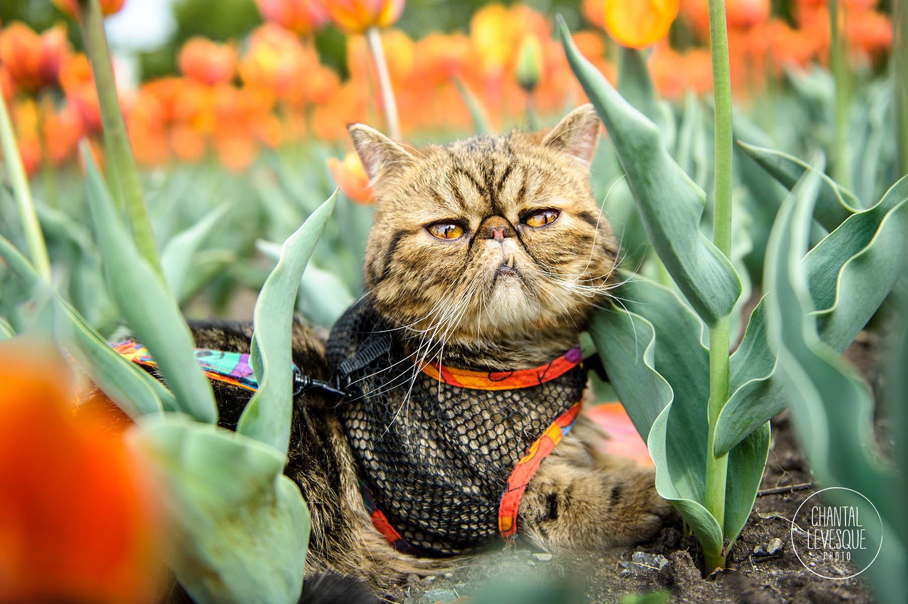 cat-portrait-tulips-quebec