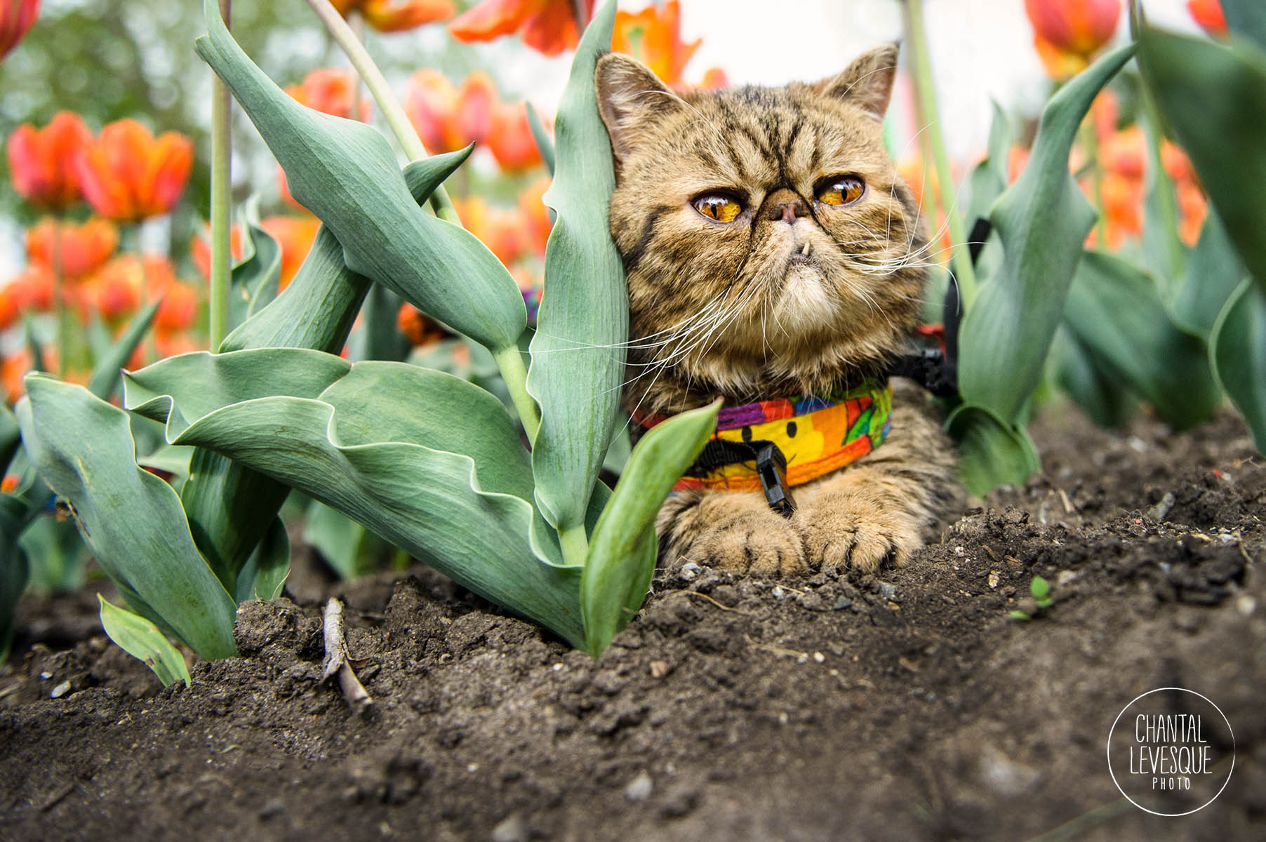 photographie-chat-exterieur-montreal