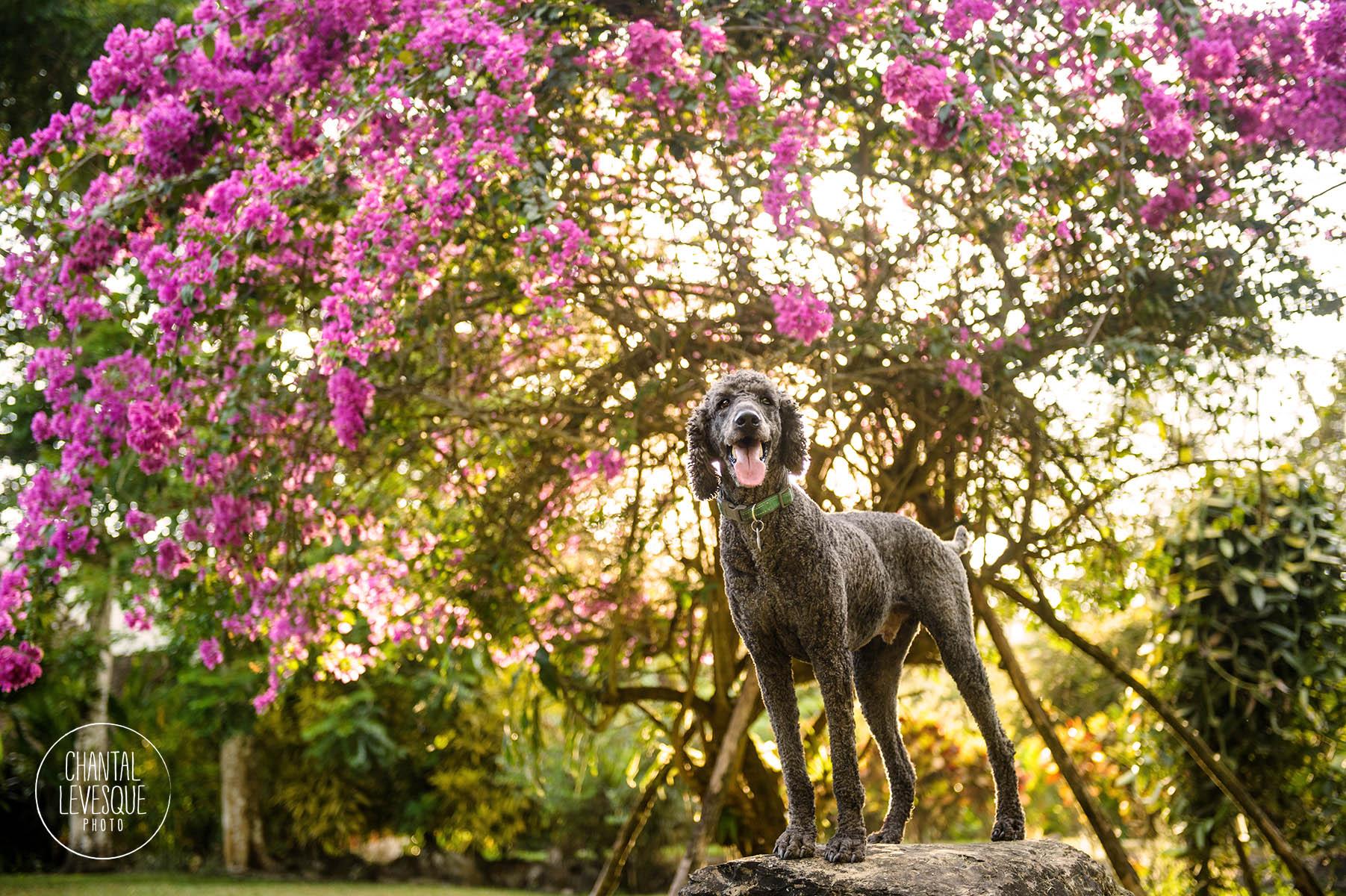 poodle-portrait