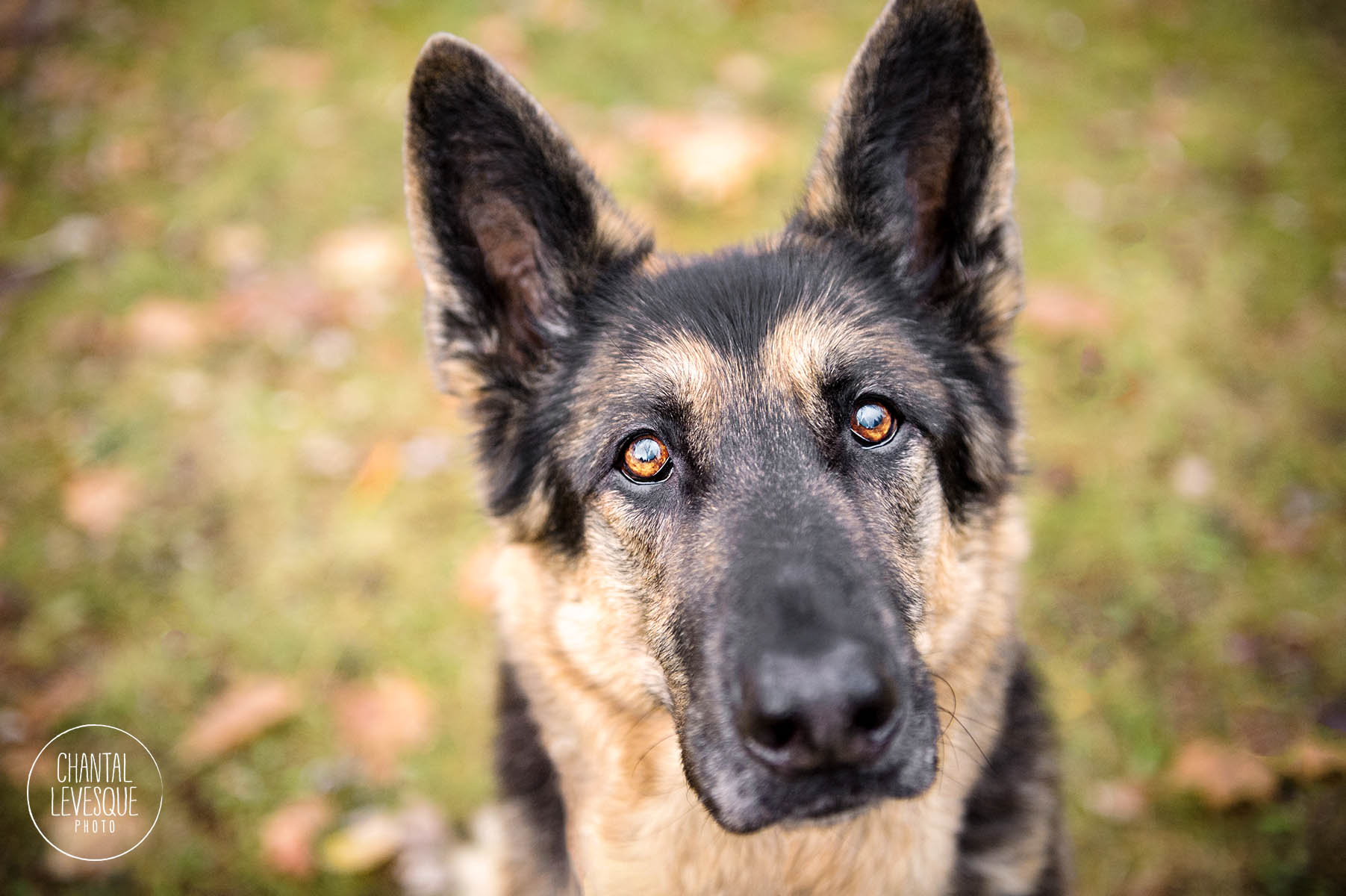 german-shepherd-photography