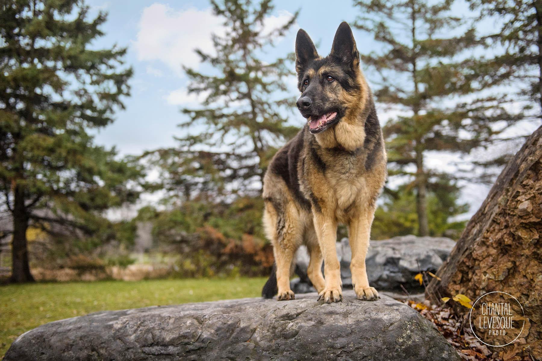 german-shepherd-nature-portrait
