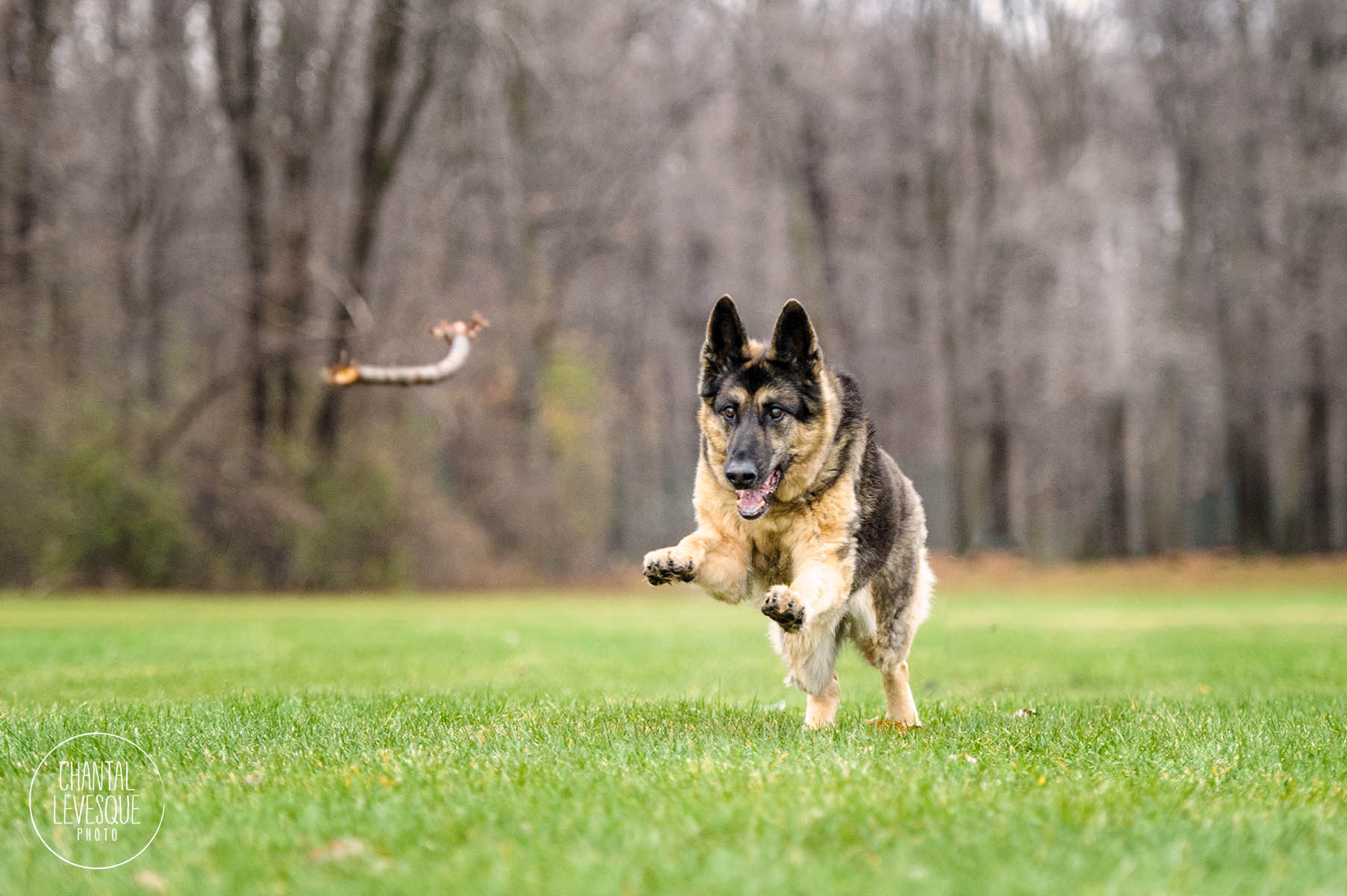 german-shepherd-run-montreal