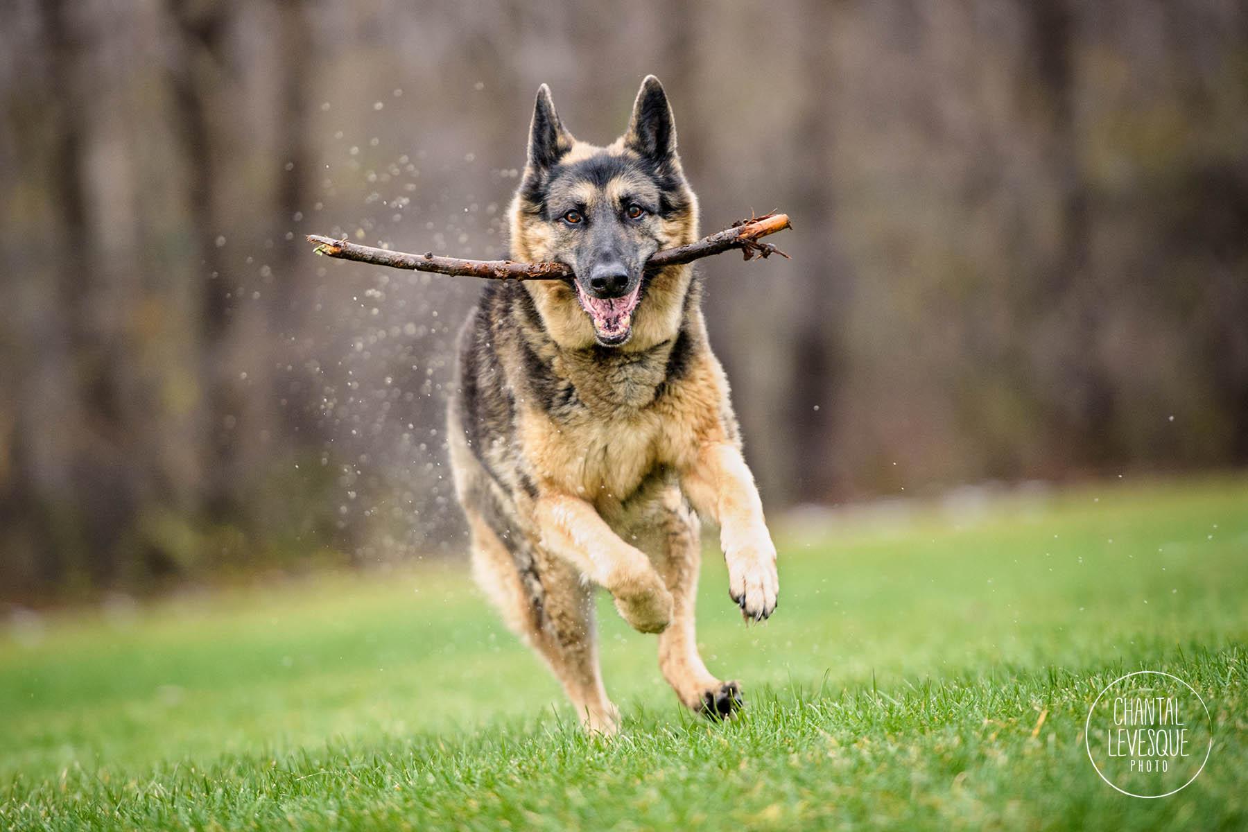german-shepherd-play-montreal