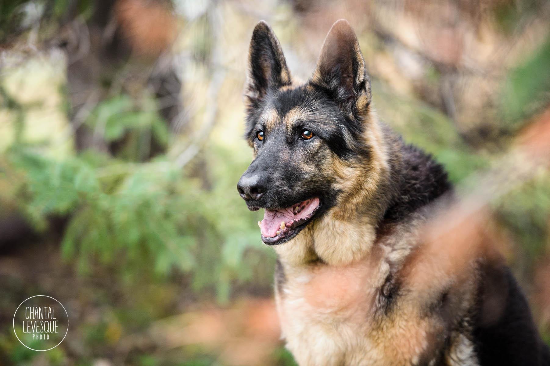 german-shepherd-nature-photographer