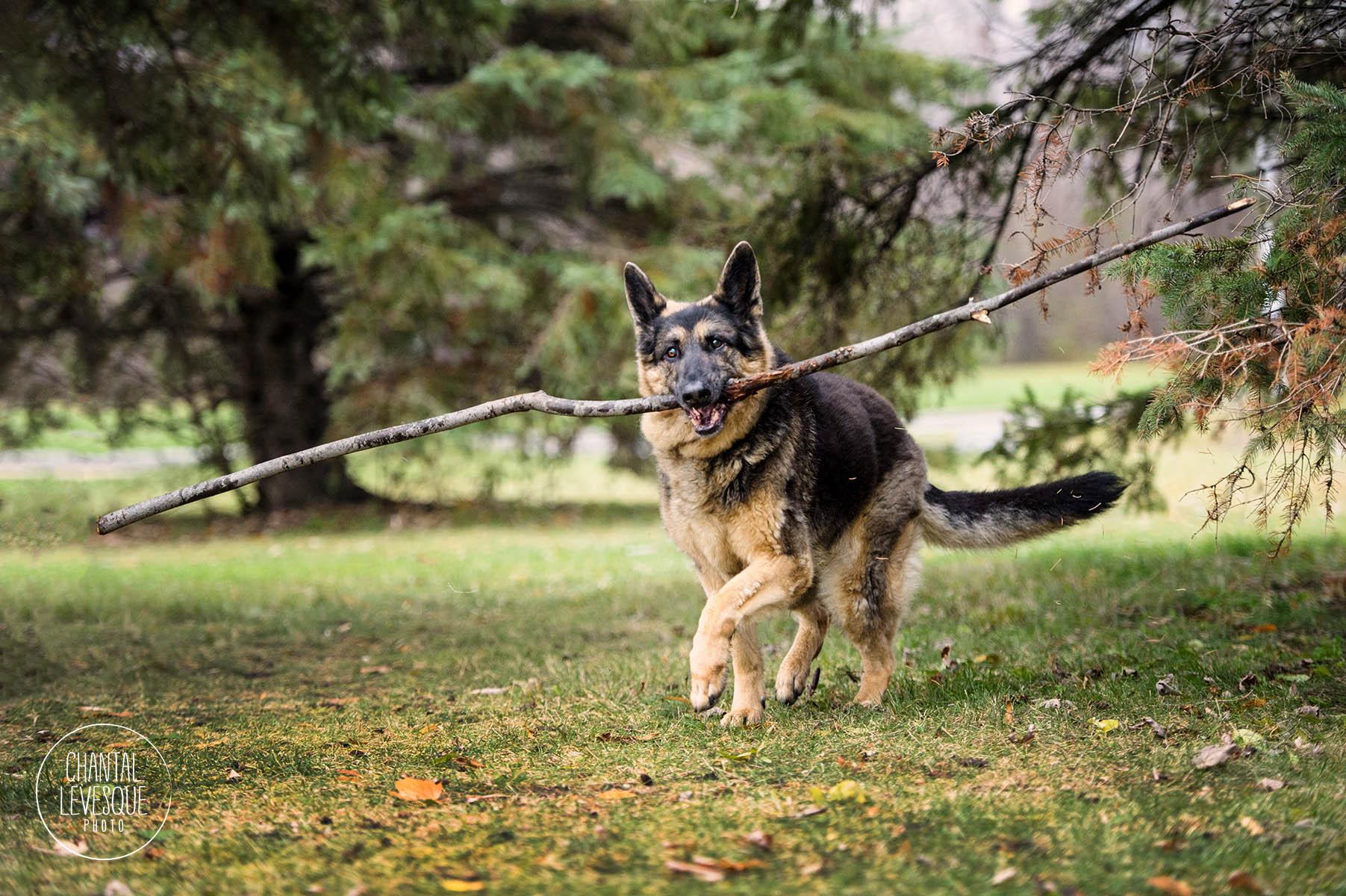 german-shepherd-play-branch