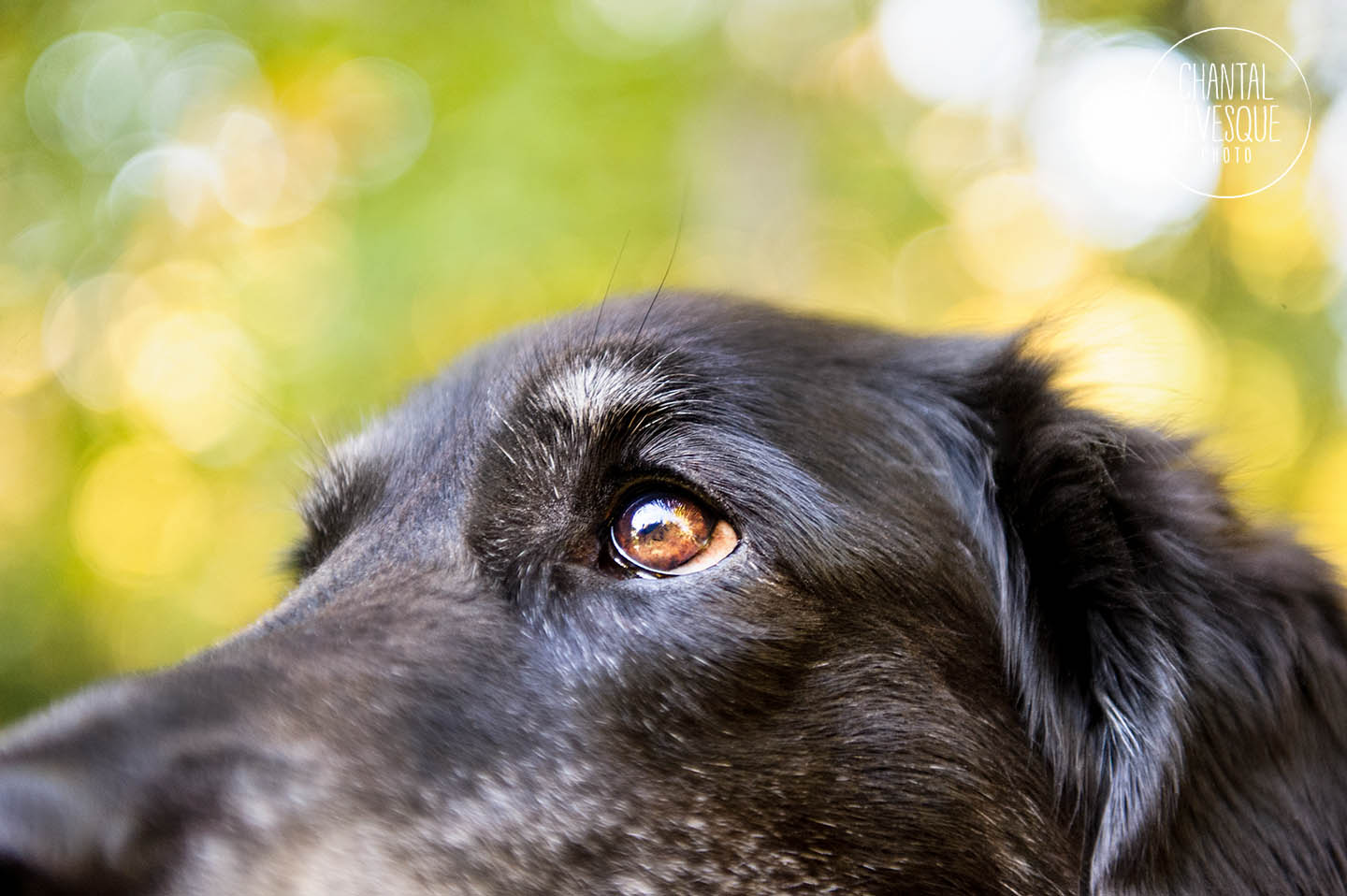 black-dog-eyes-photo
