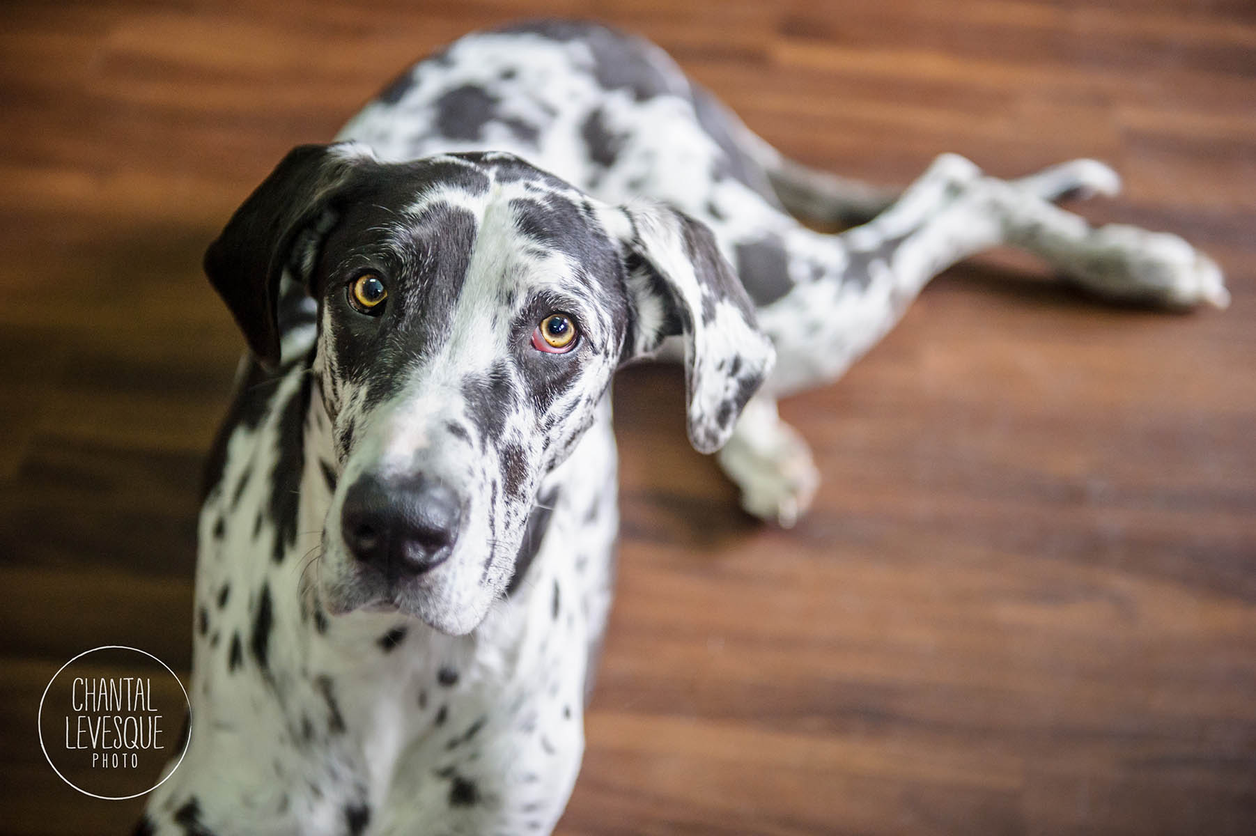 harlequin-great-dane-photography