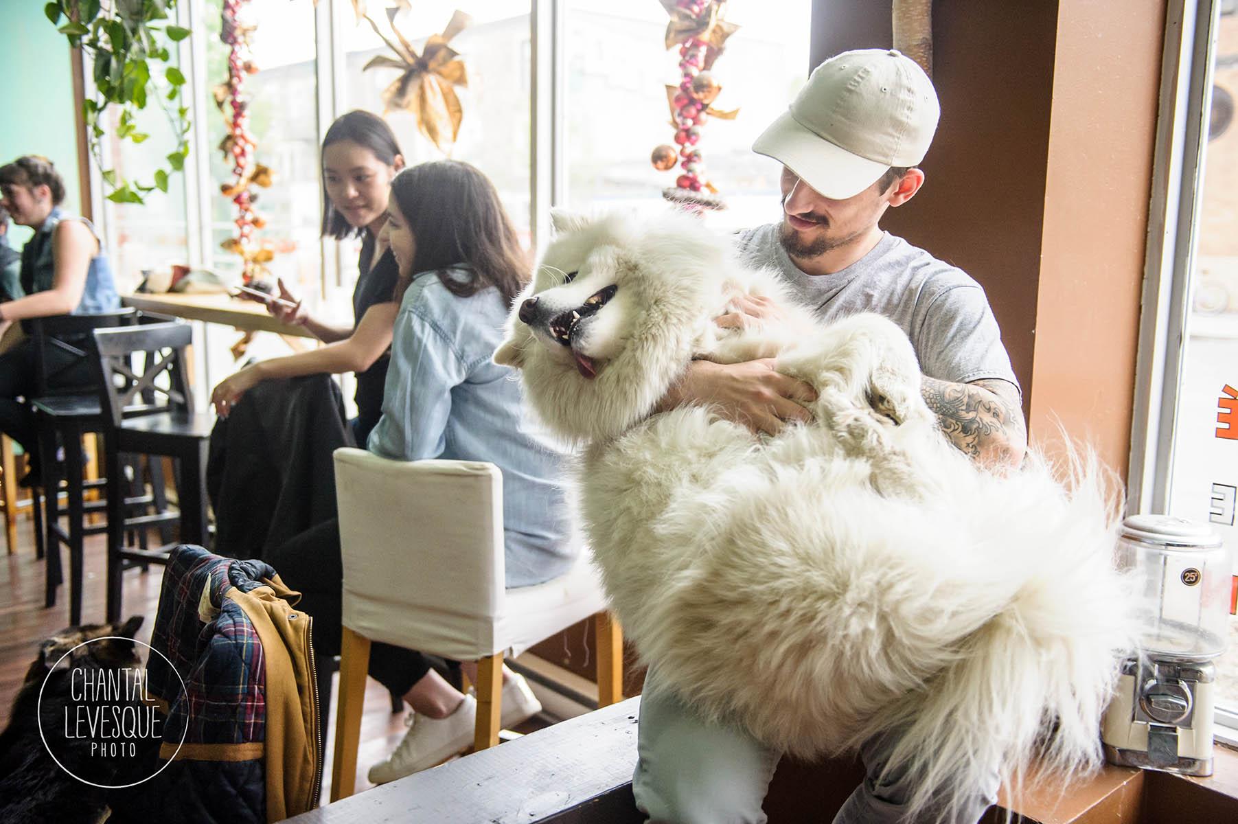 samoyed-doggy-cafe