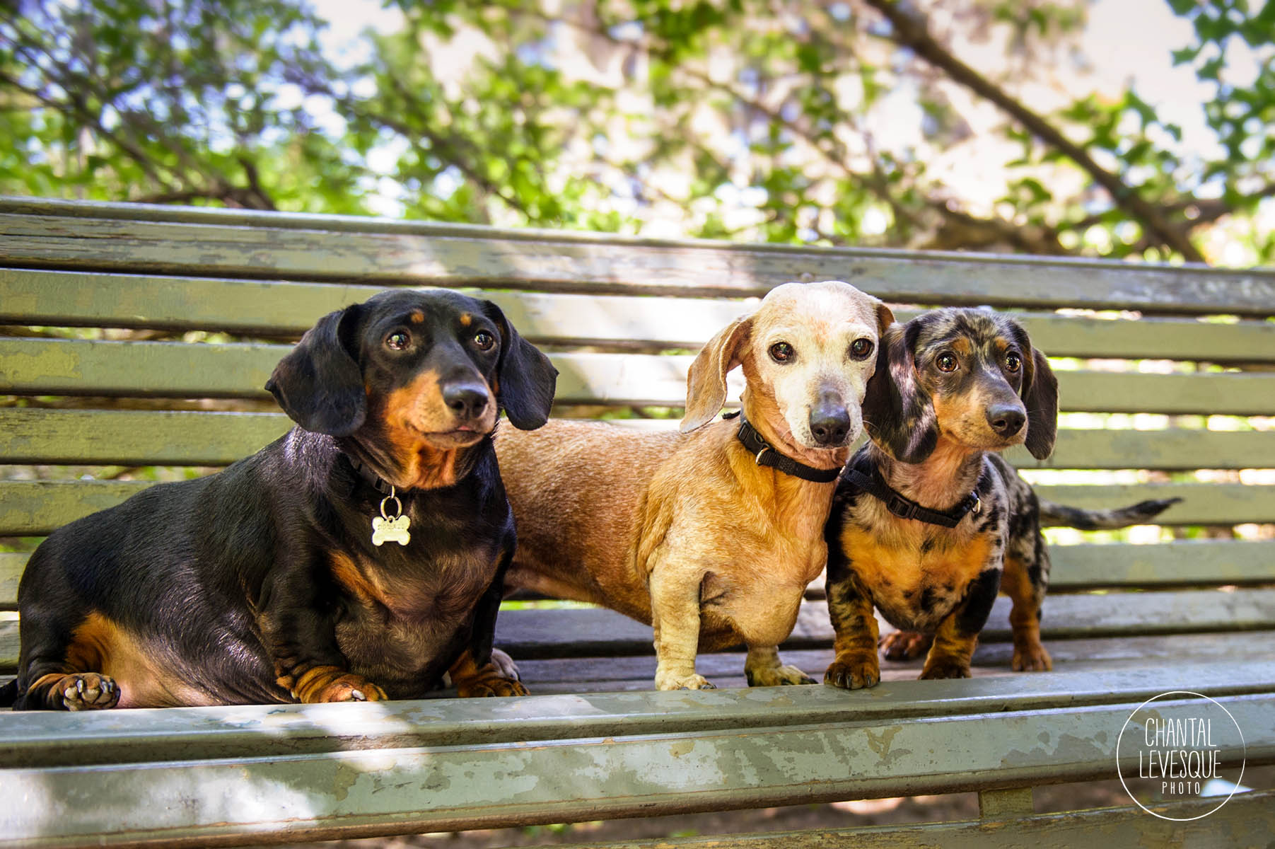 chiens-saucisse-photographe