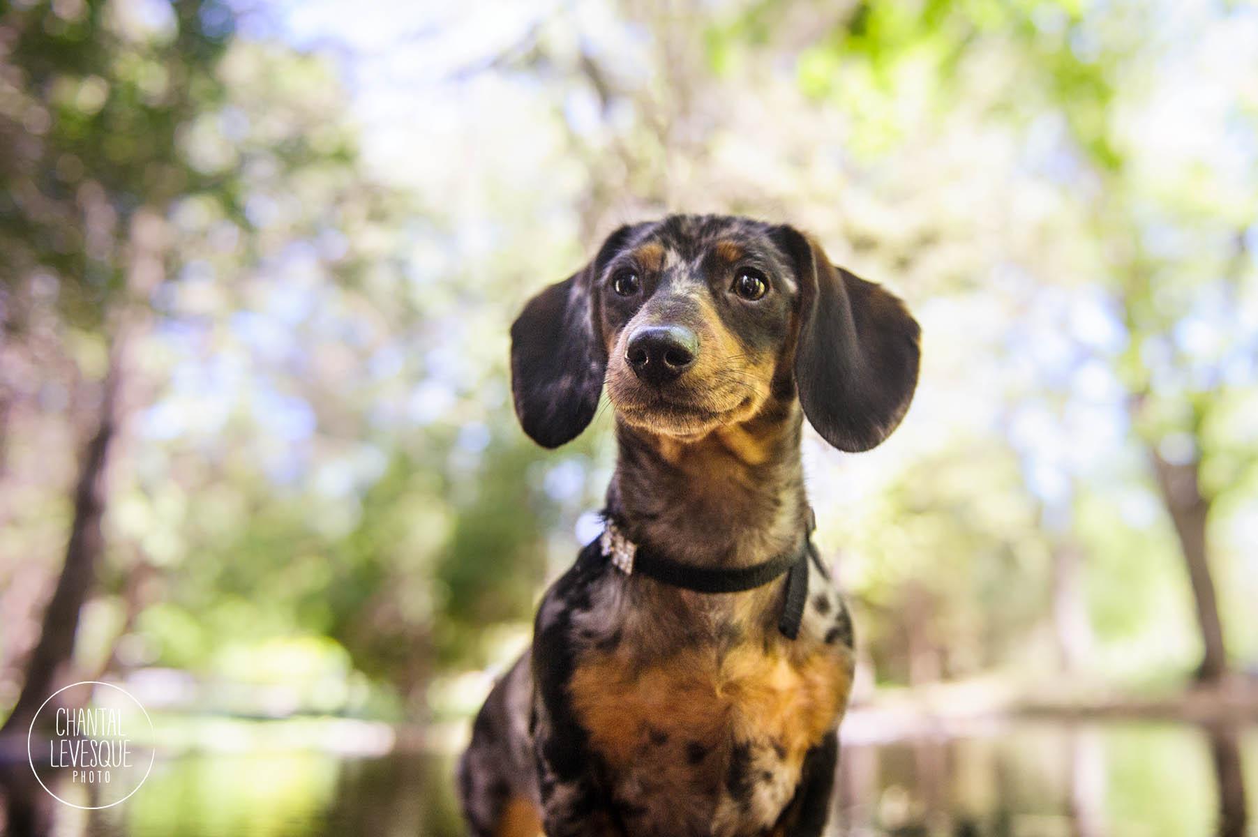 wiener-dog-photography
