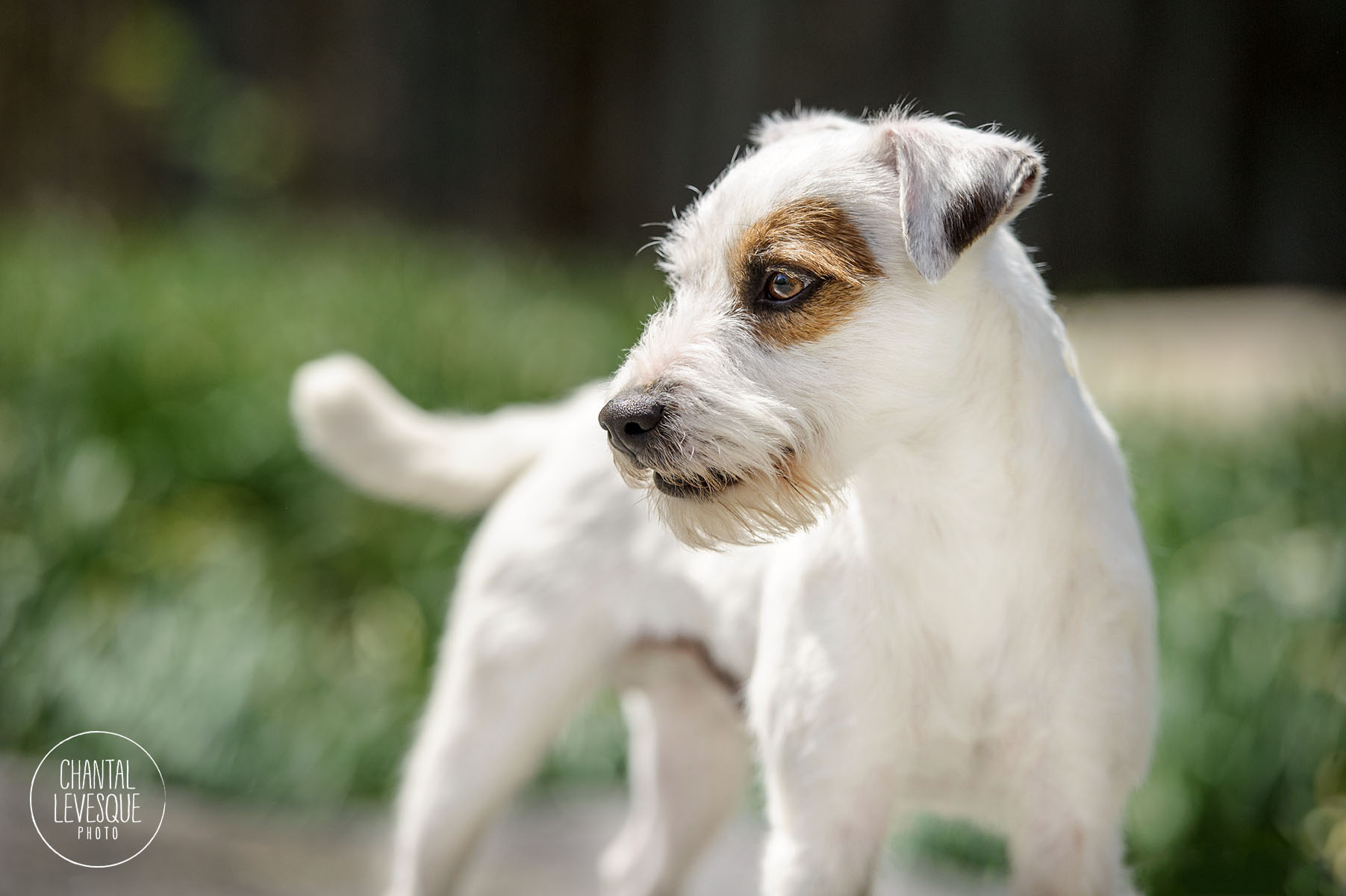 jack-russel-photography