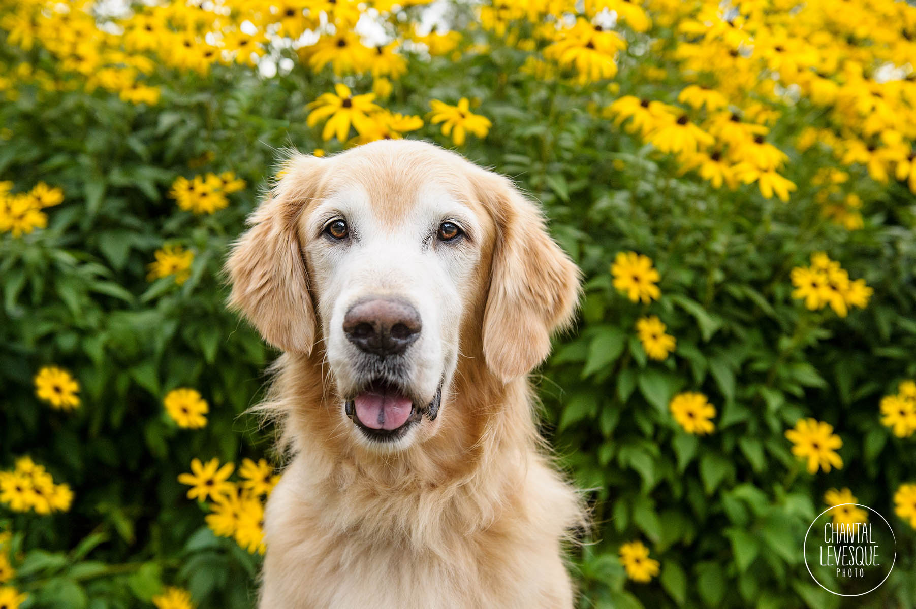 photographe-chiens-montreal