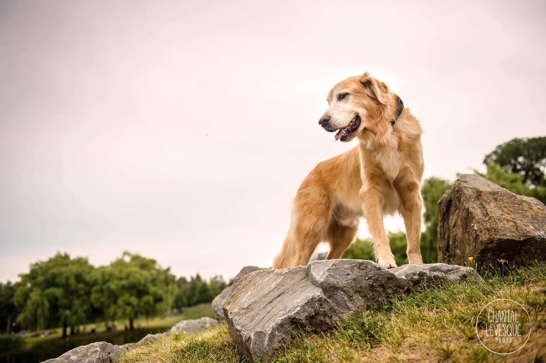 senior-dog-portrait-montreal