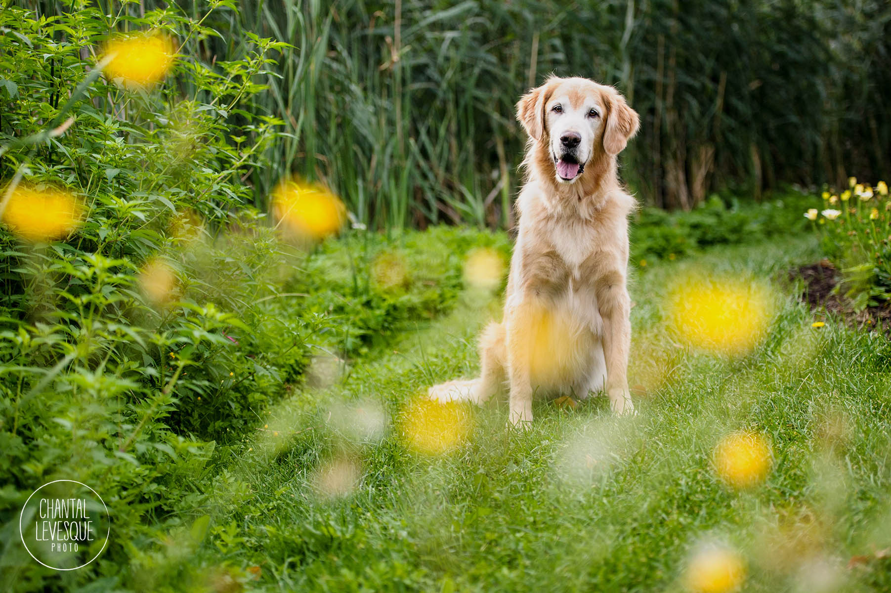 chien-senior-montreal