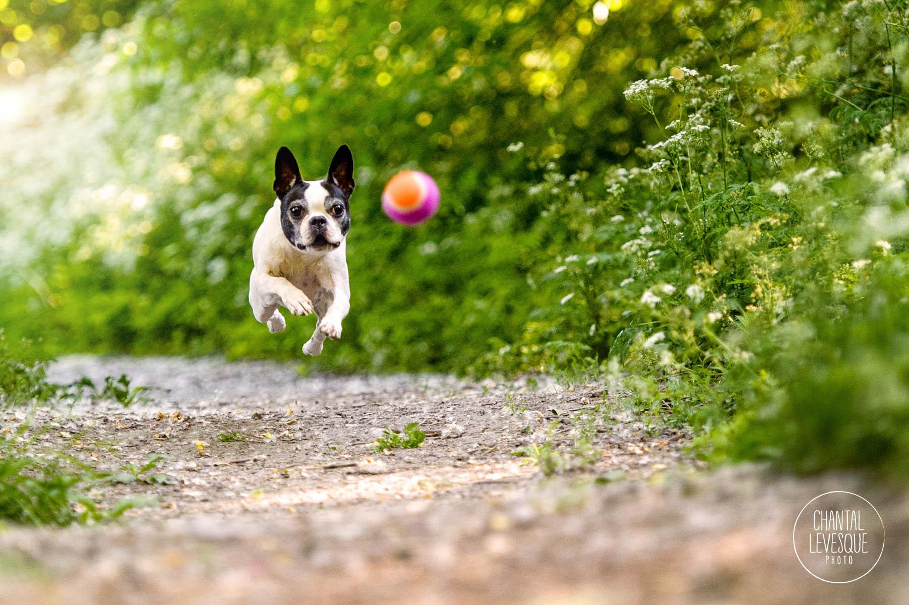 boston-terrier-action-photographer