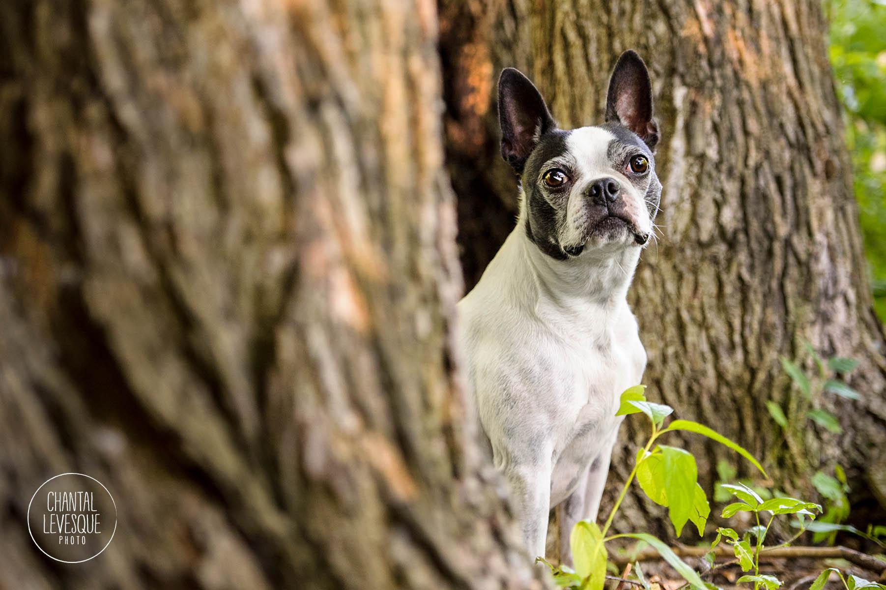 boston-terrier-portrait