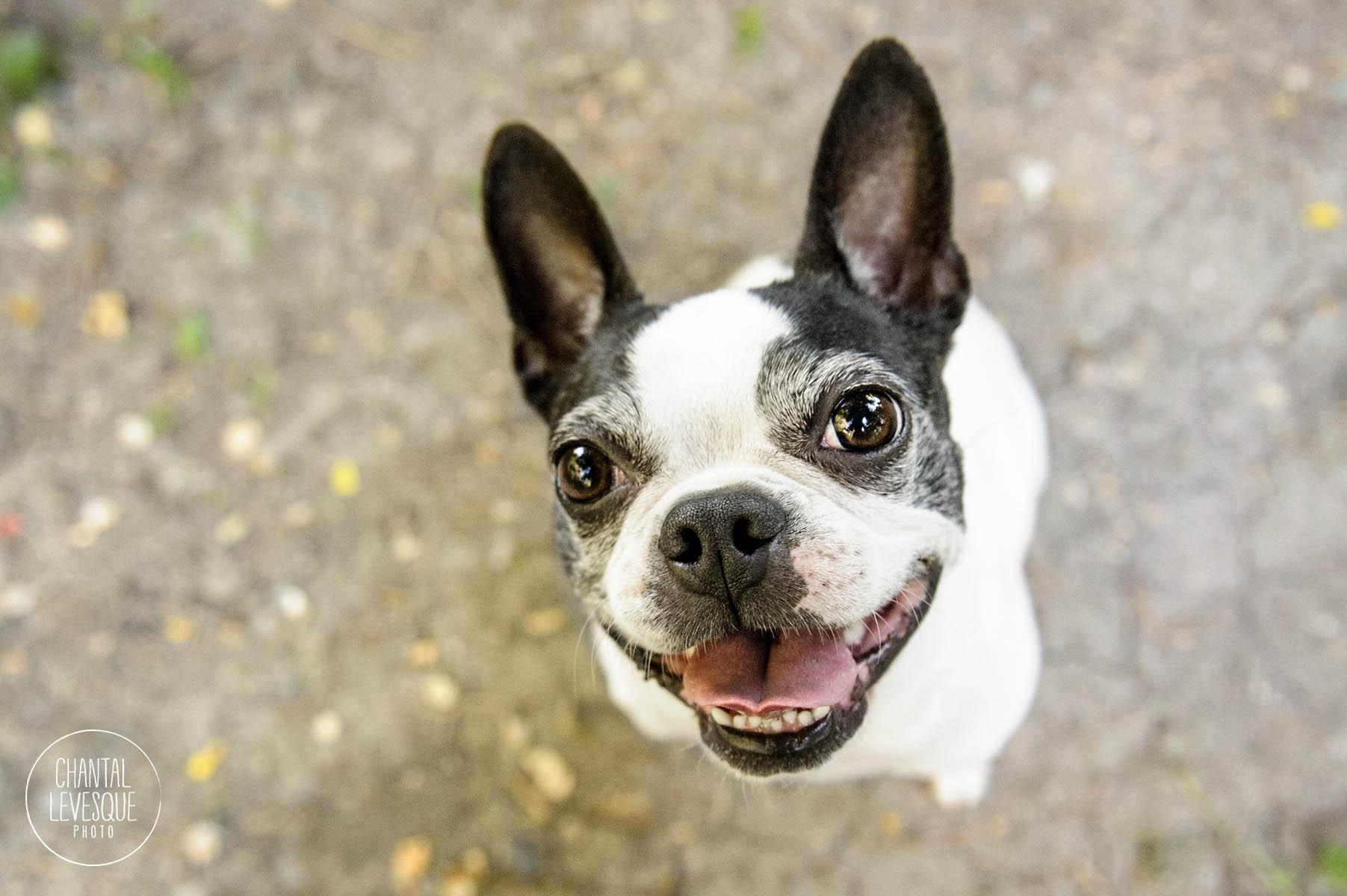 goofy-boston-terrier-montreal