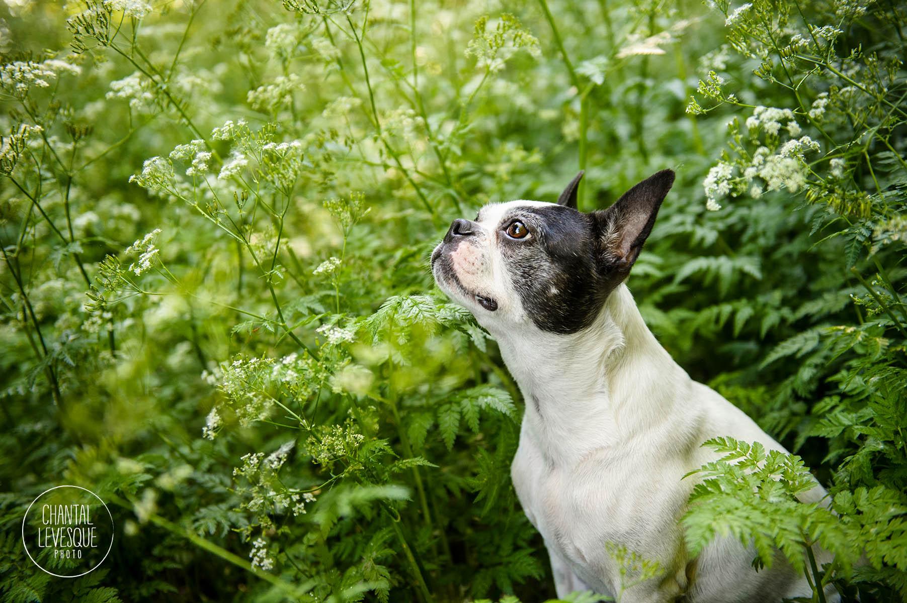 boston-terrier-flowers-photographer
