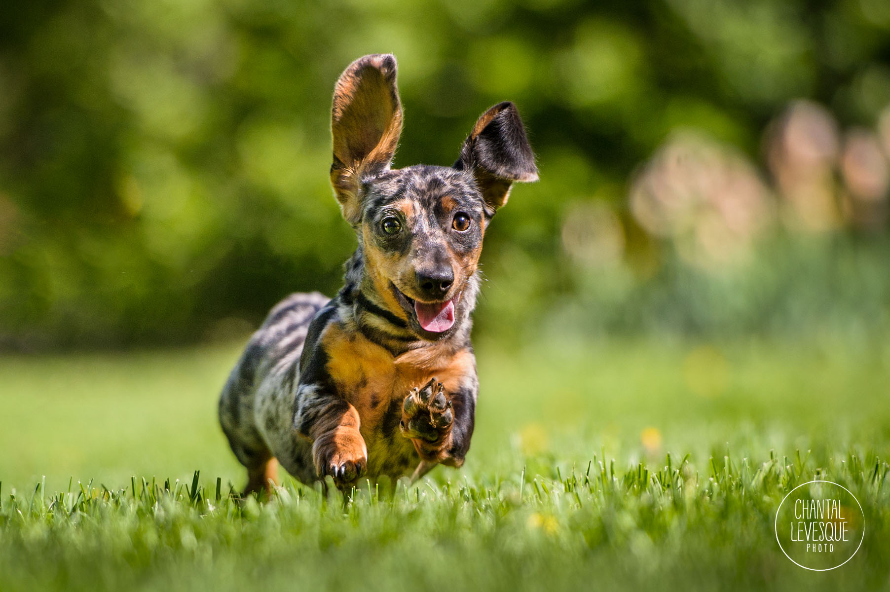 doxie-puppy-running