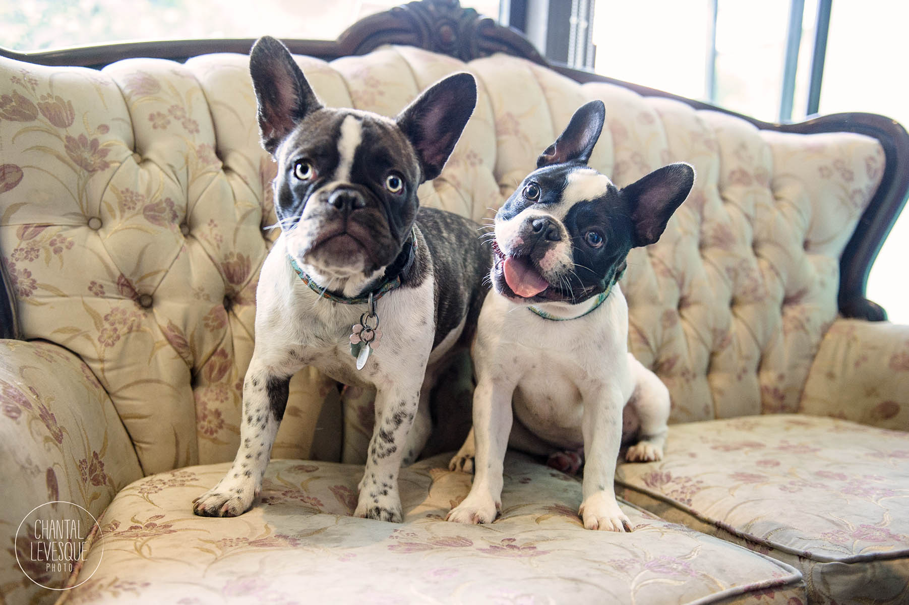 french-bulldogs-photography-montreal