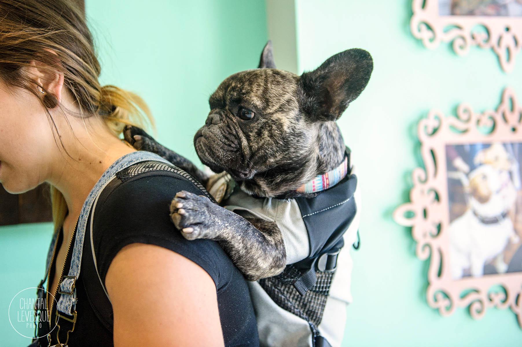 french-bulldog-montreal-photographer