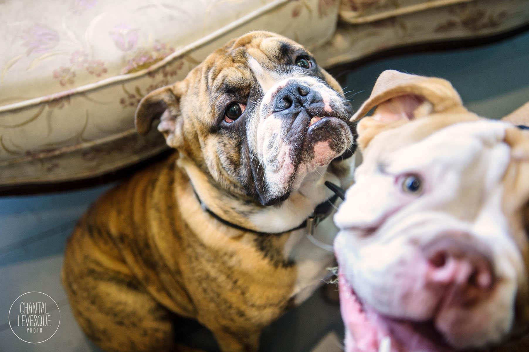 bulldog-photobomb-plateau-mont-royal