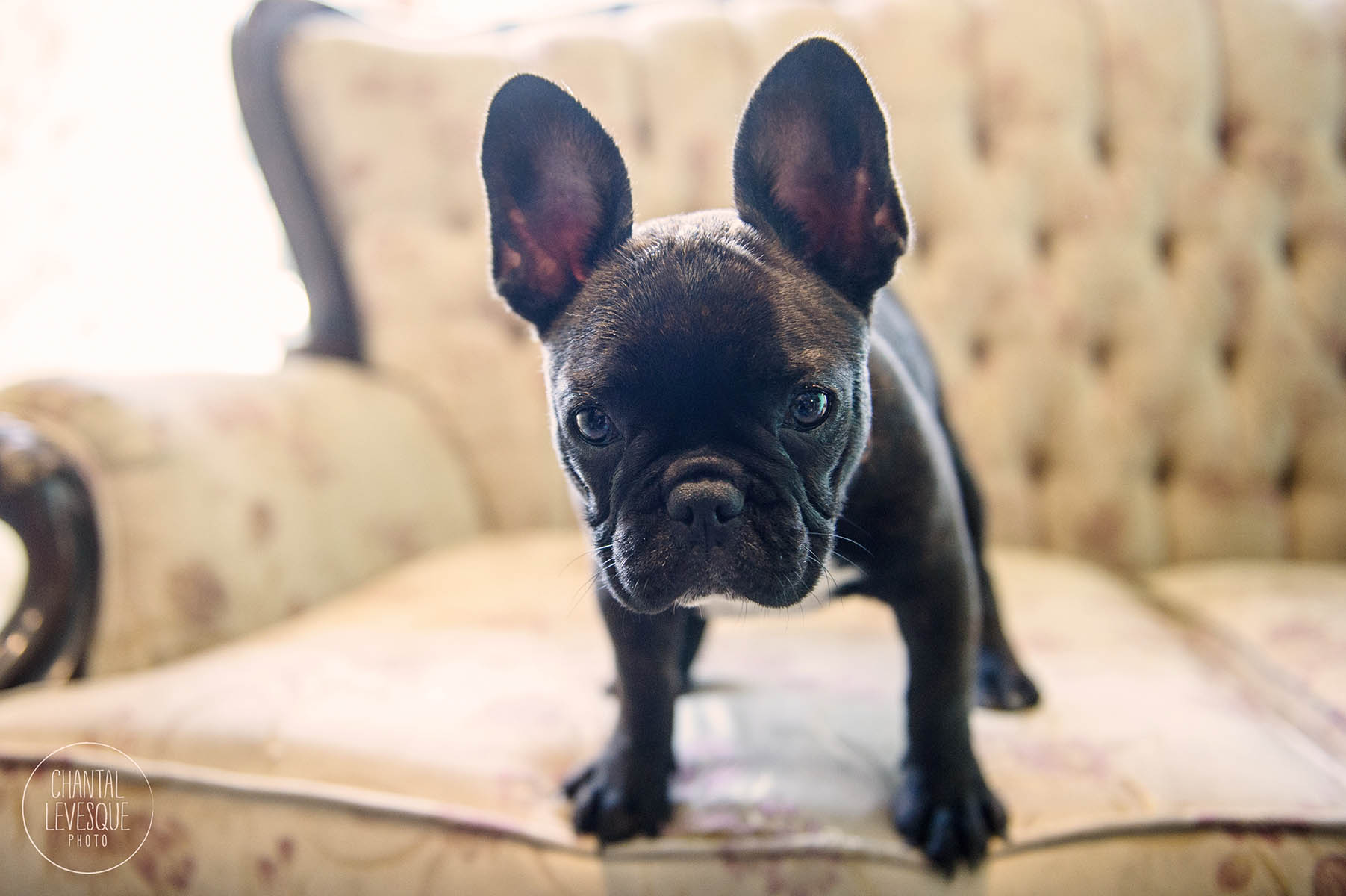 frenchie-puppy-photography
