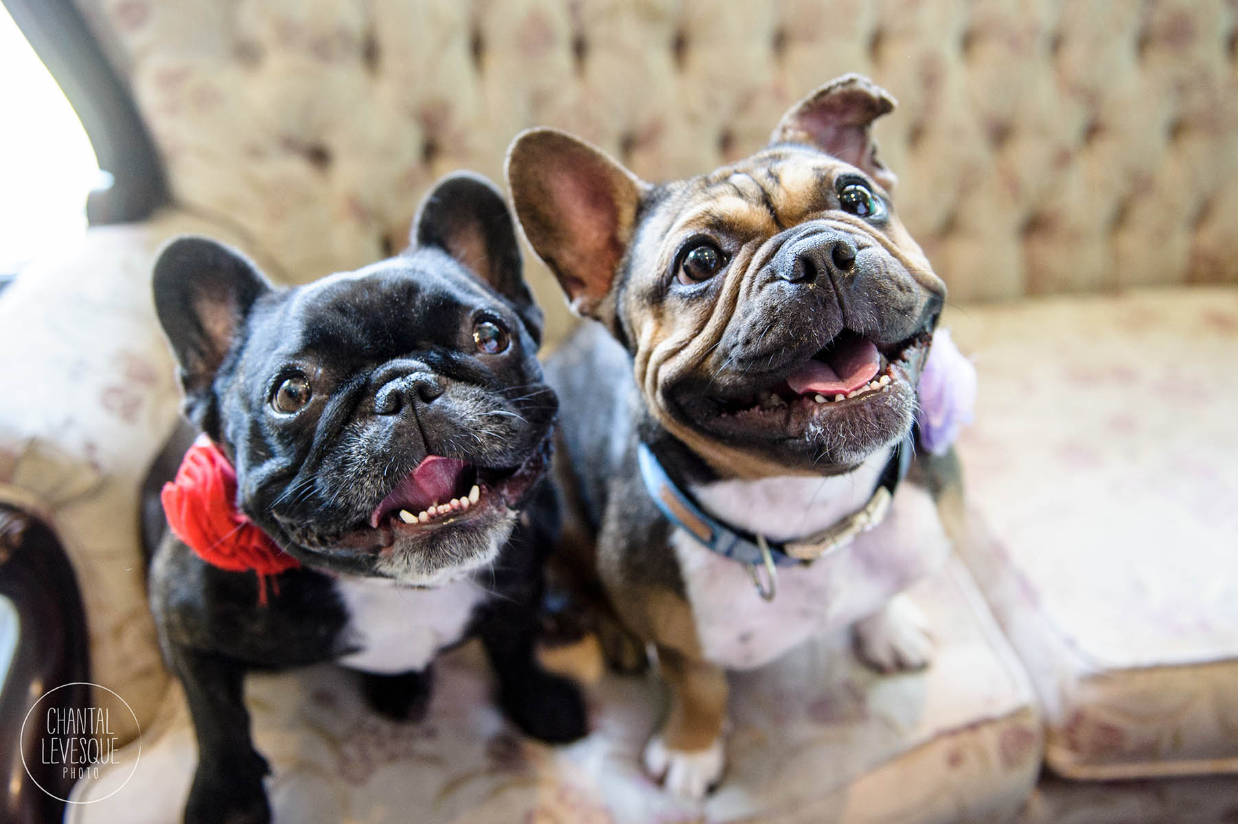 french-bulldogs-doggy-cafe