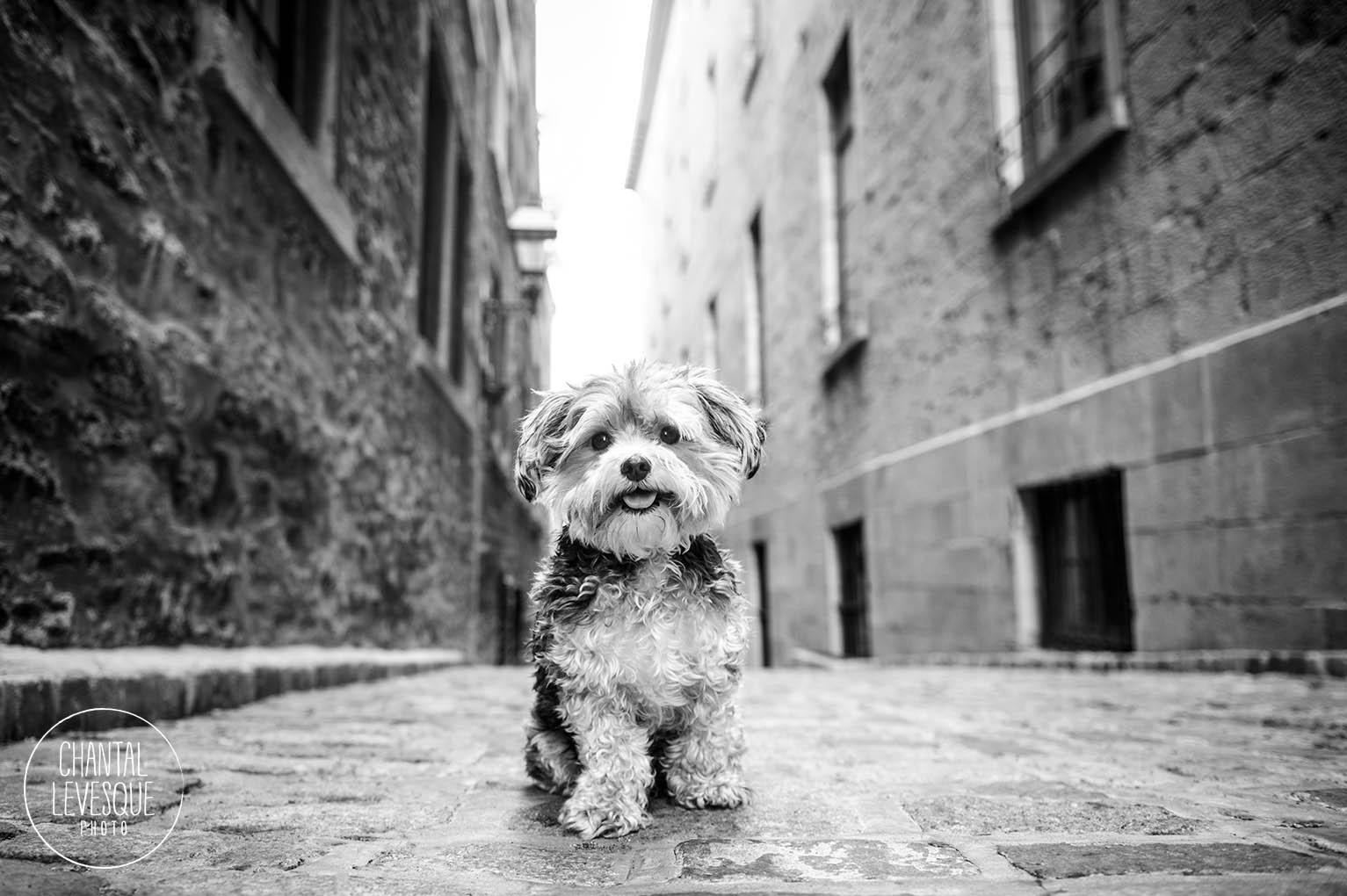 vieux-montreal-yorkie-photographe