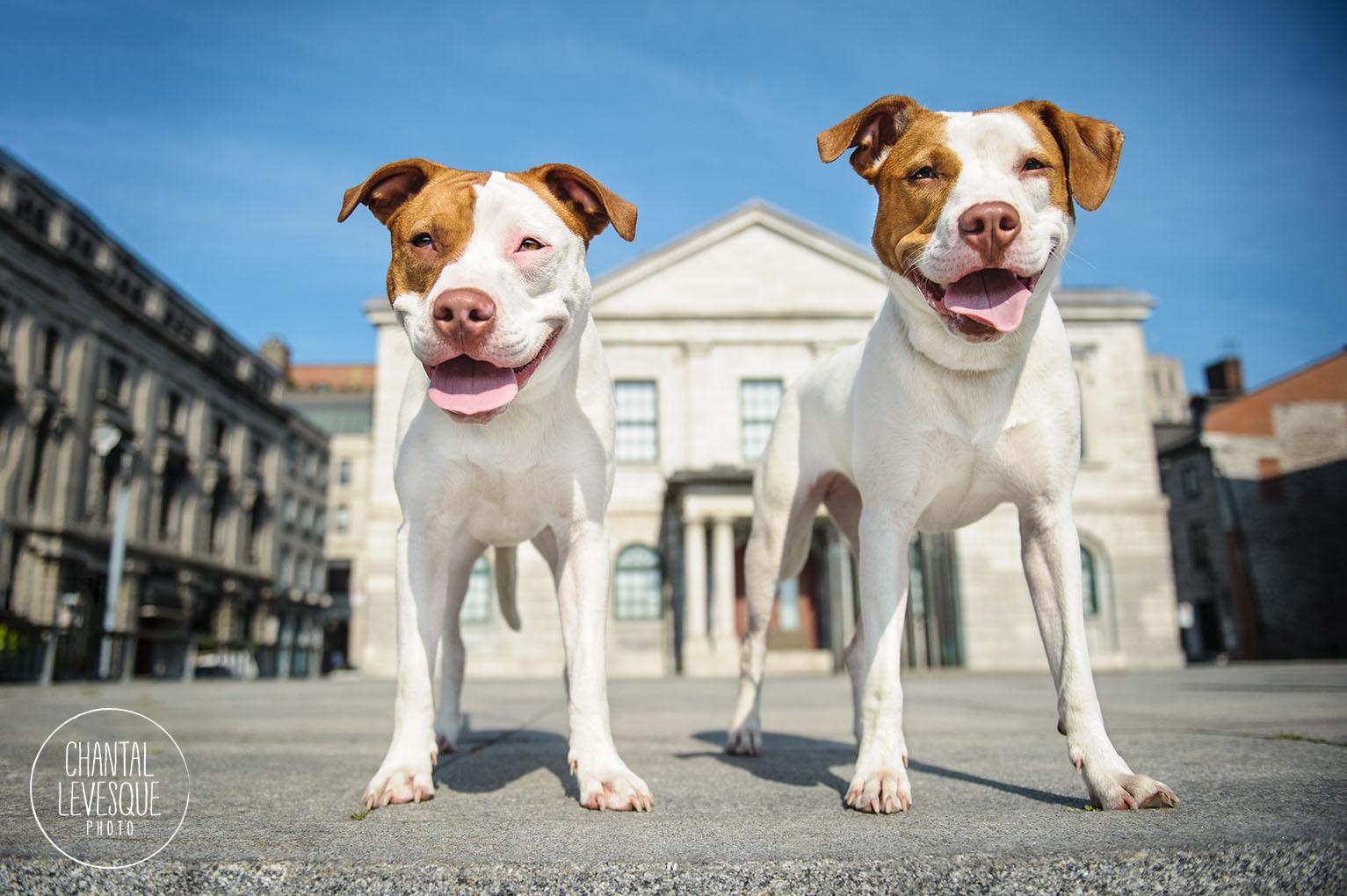 pitbulls-portrait-old-montreal